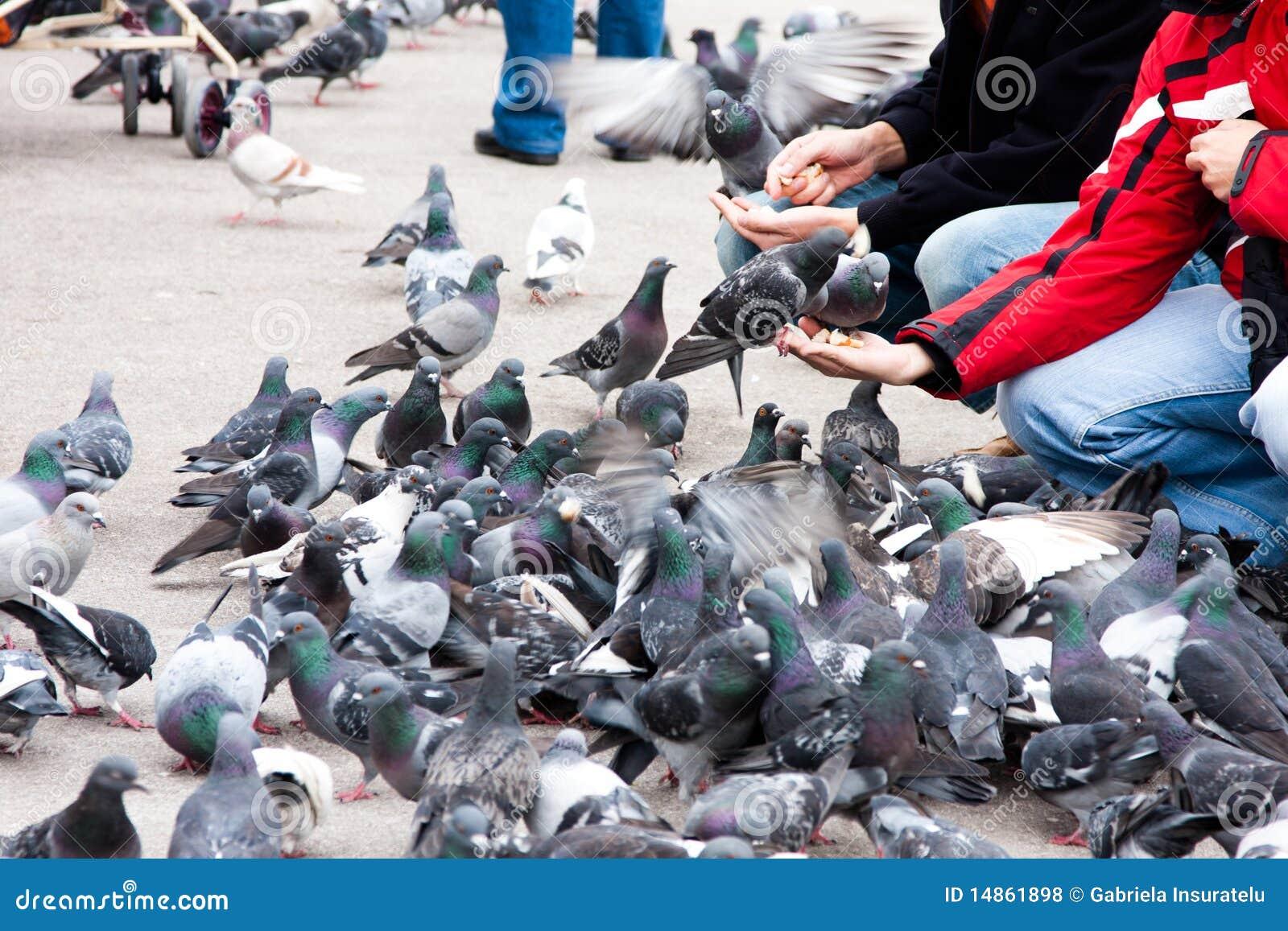 Feeding pigeons