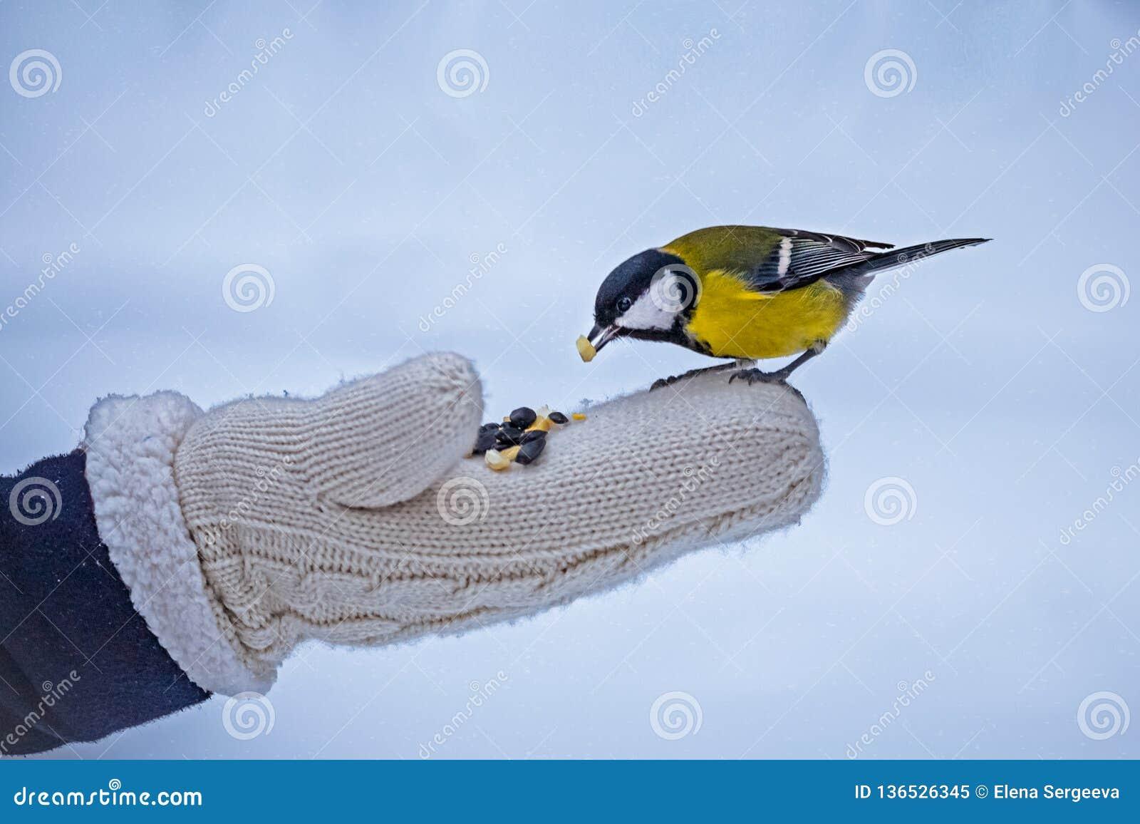 Feeding small tomtit in winter, bird care
