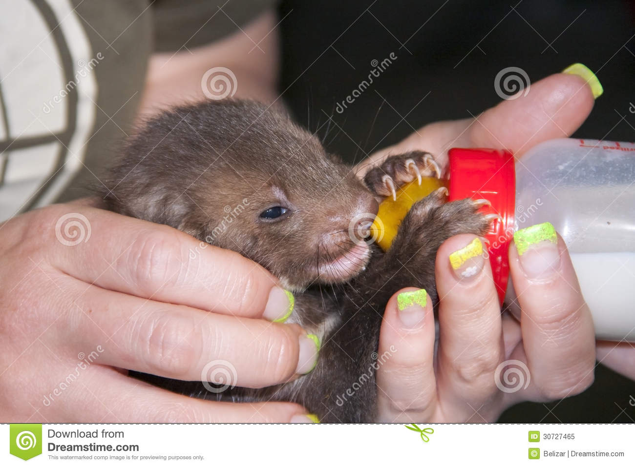 feeding a stone marten baby royalty free stock photo image 30727465. Black Bedroom Furniture Sets. Home Design Ideas