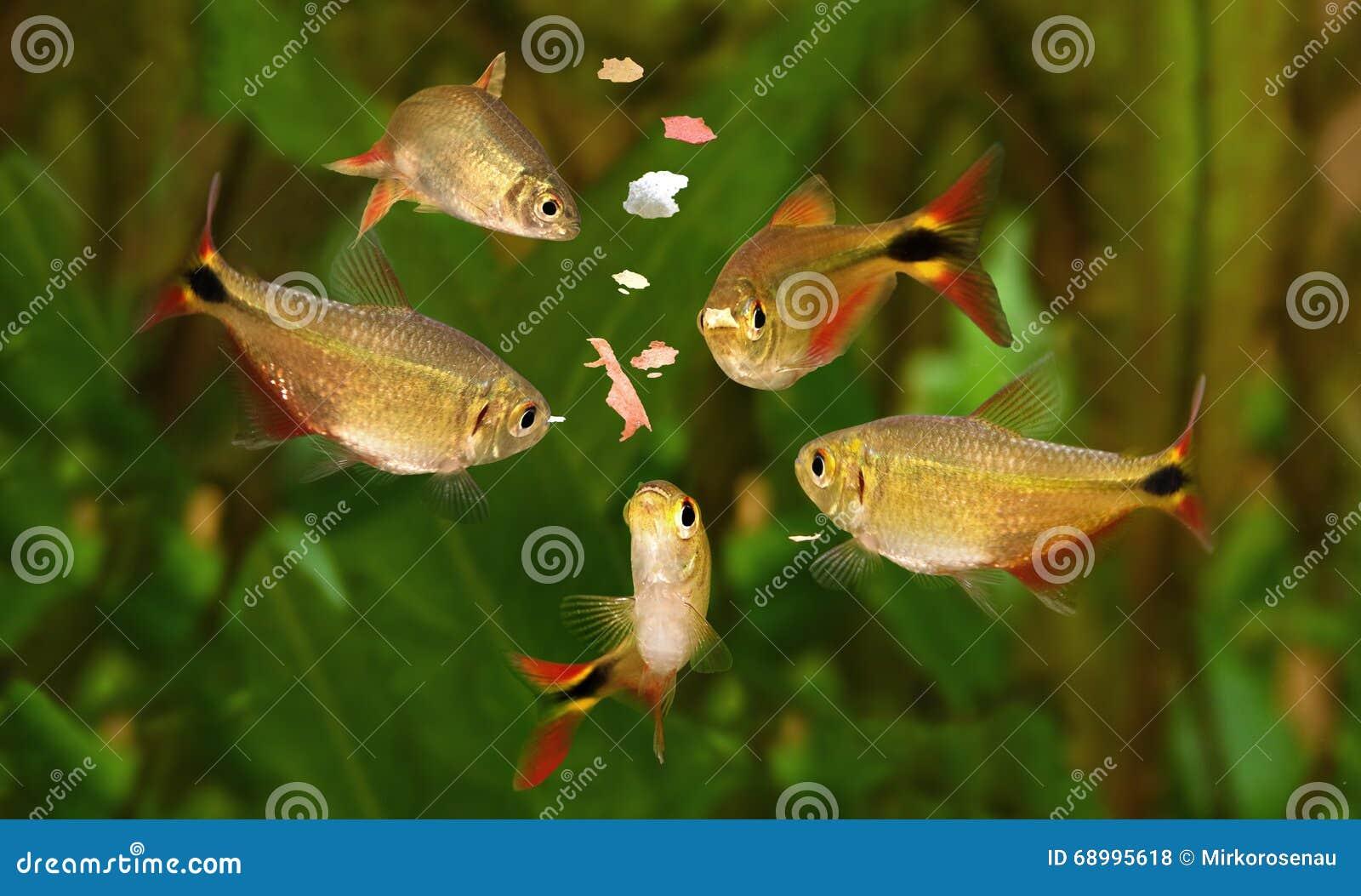 Feeding swarm buenos aires tetra aquarium fish eating for Dreaming of eating fish