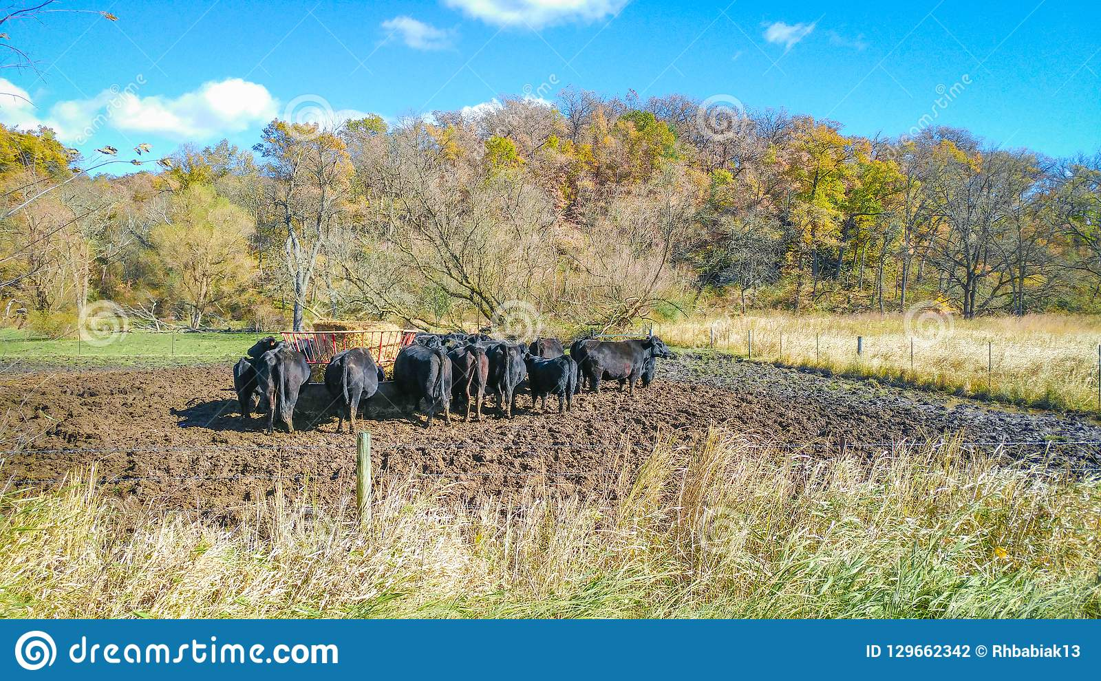 Feeding Time for Cows in Pasture