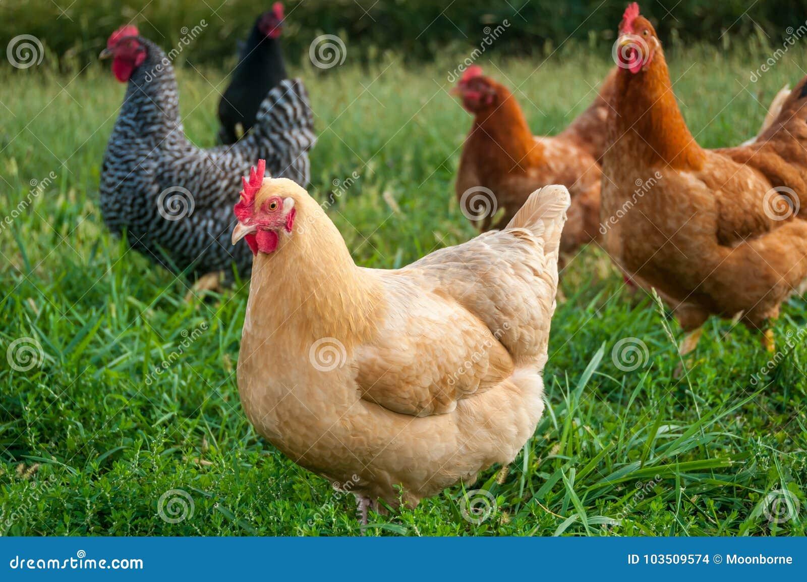 Feg flock