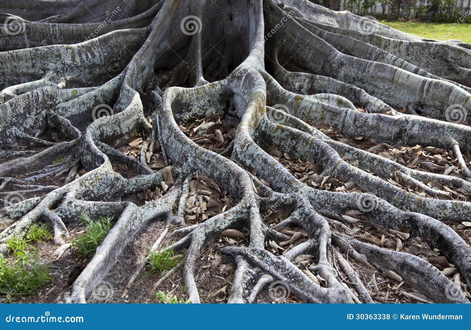 Feigenbaum-Wurzeln