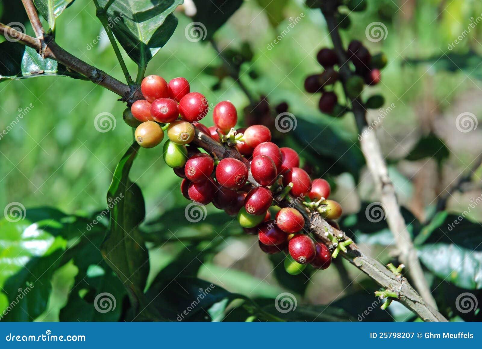 Feijões de café crus à planta do café