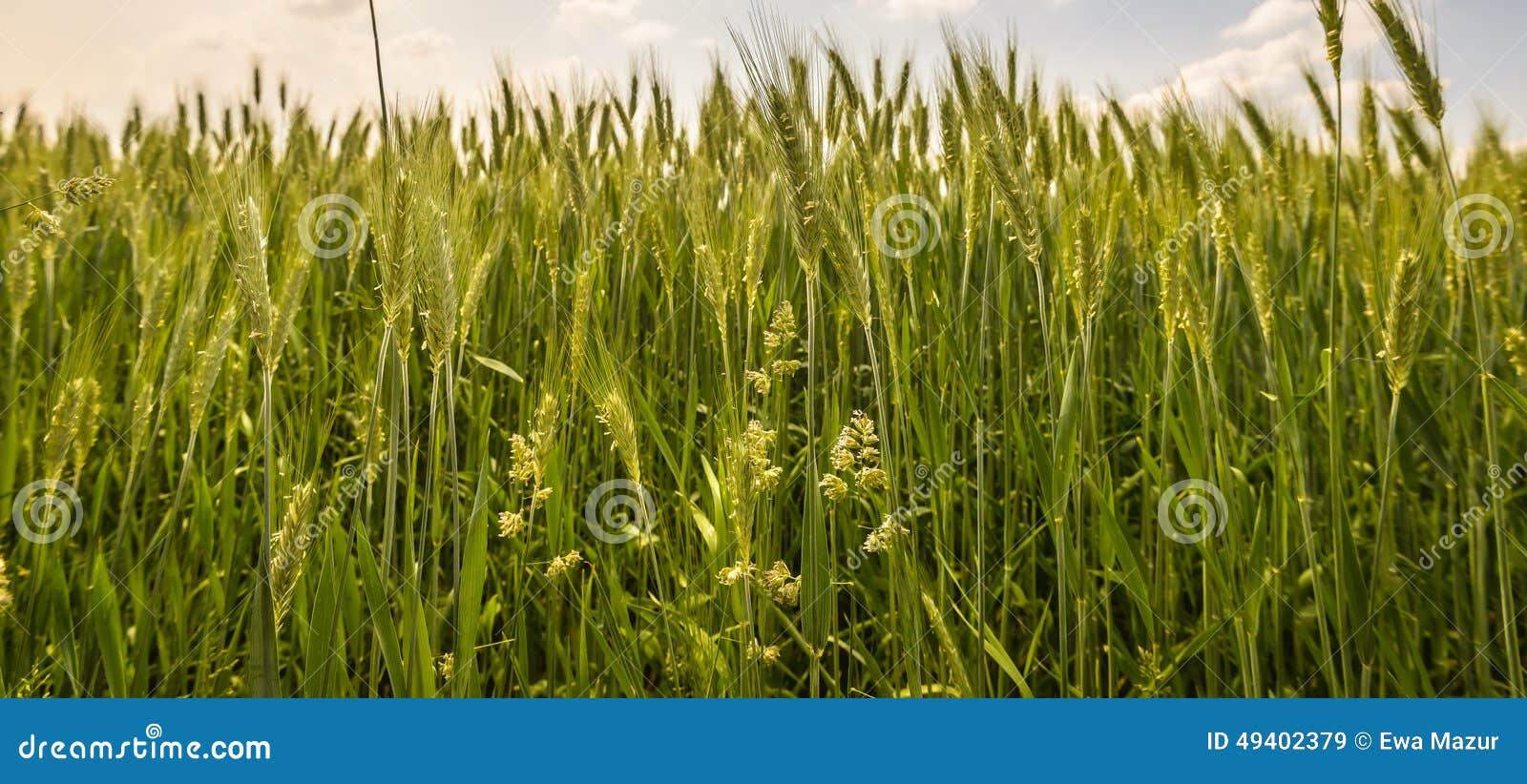 Download Feld stockbild. Bild von frisch, wolken, getreide, szene - 49402379