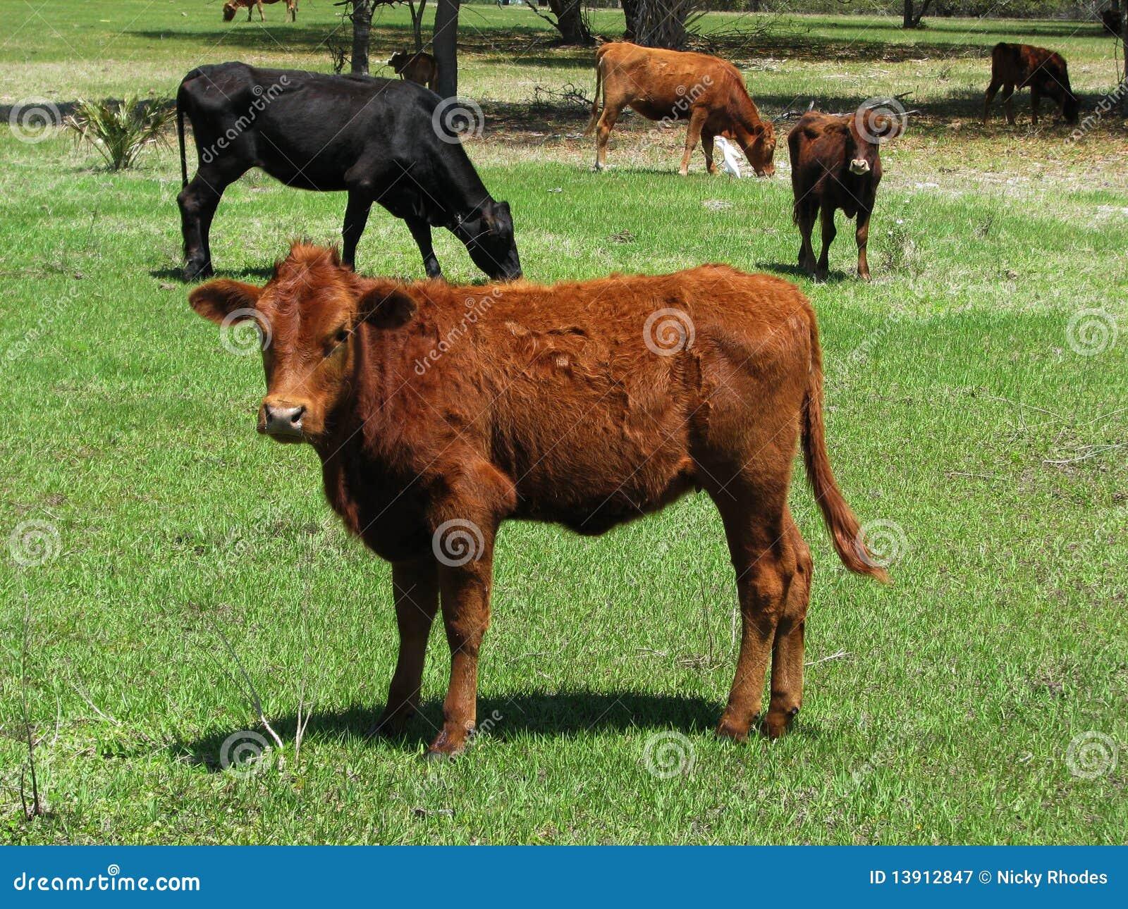 Feld auf Vieh