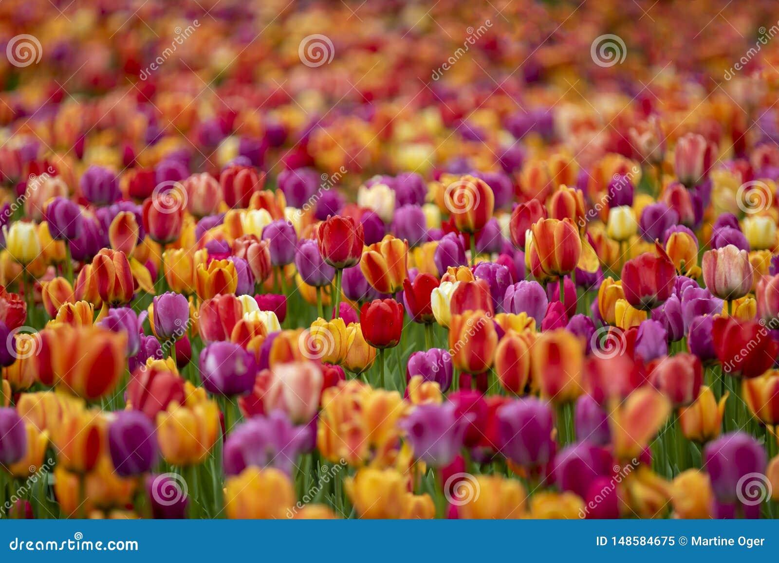 Feld der farbigen Tulpen