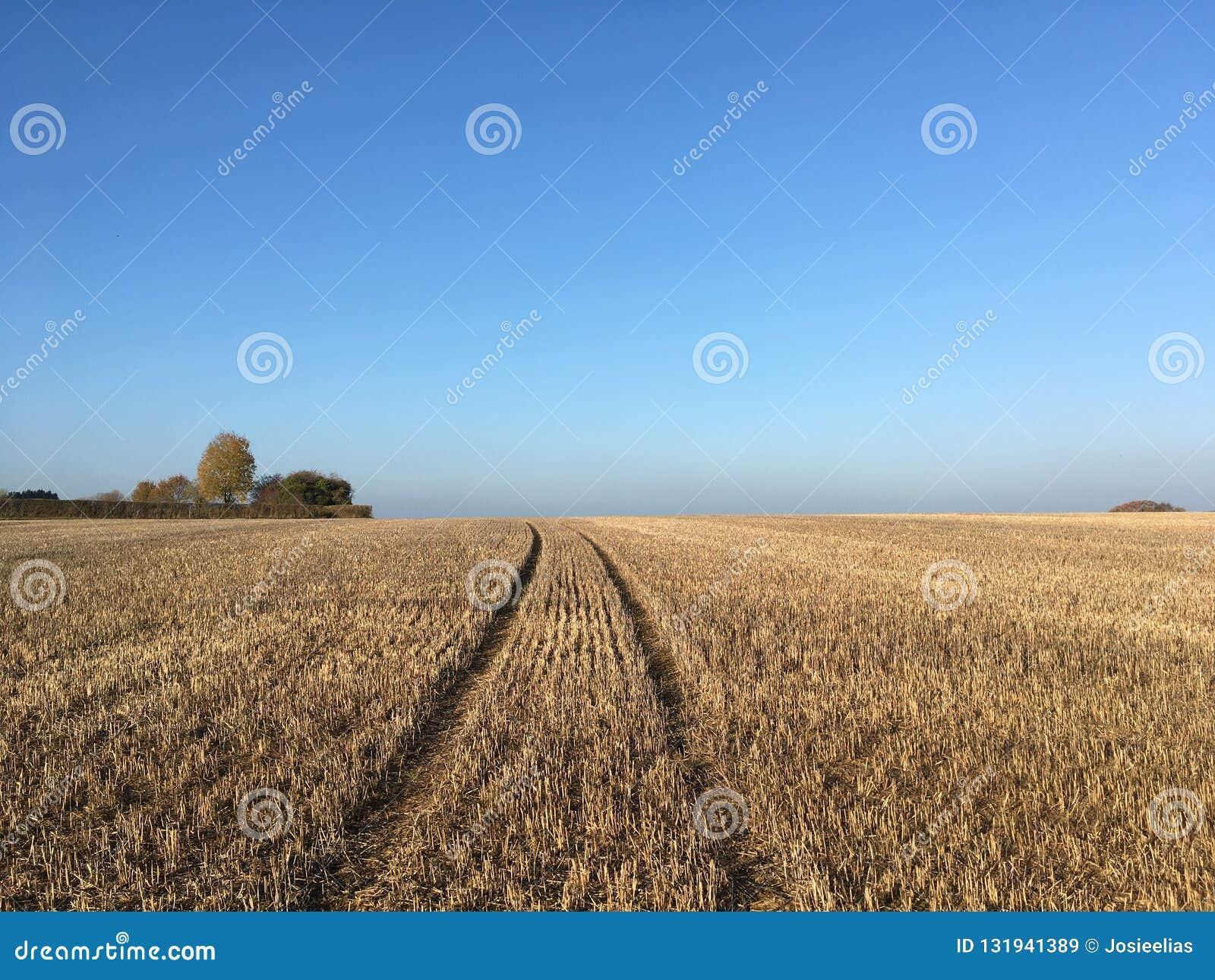 Feld der Maisstoppel nach Ernte, Somerset, England