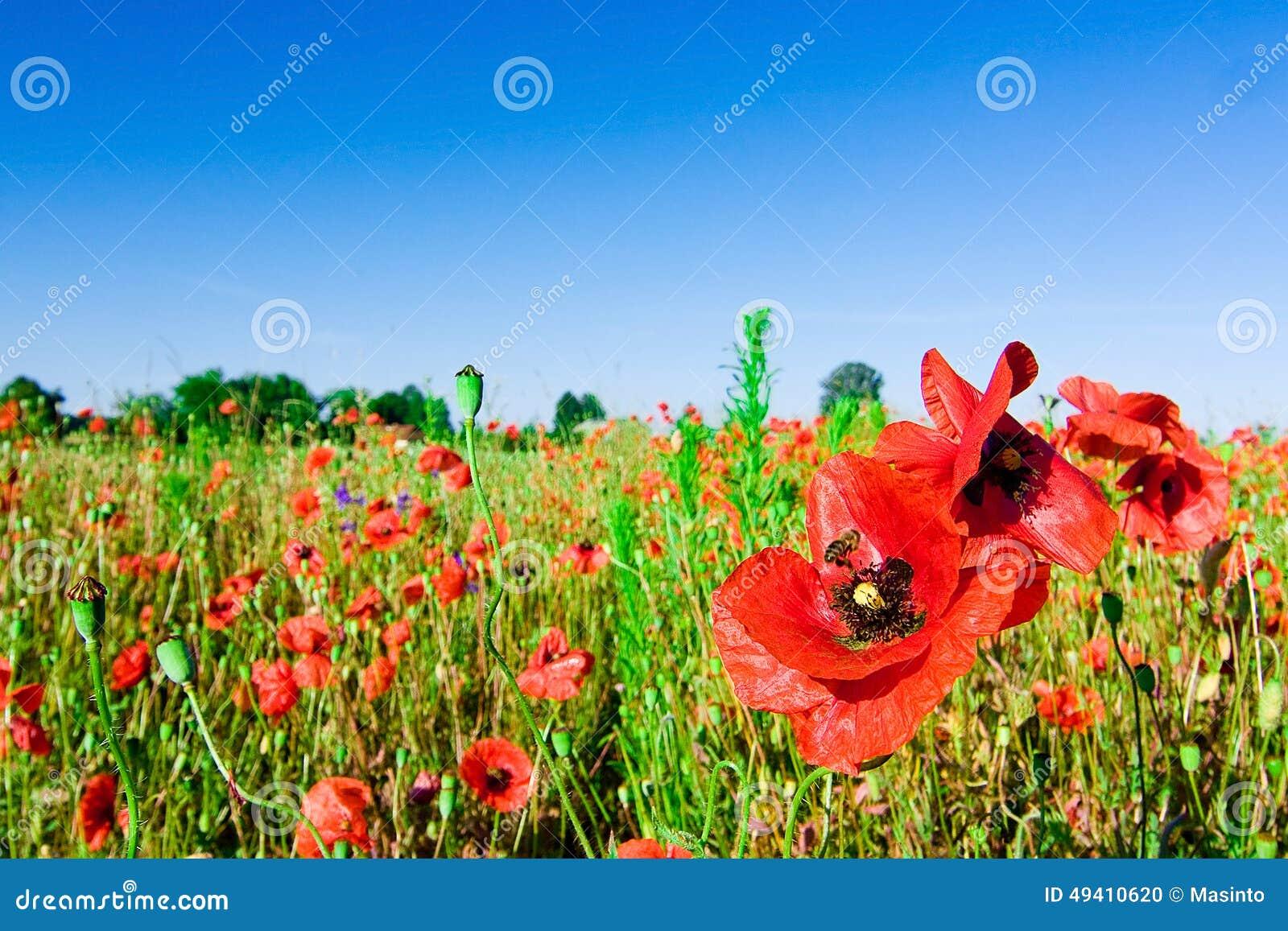Download Feld der Mohnblumen stockfoto. Bild von blatt, sommer - 49410620