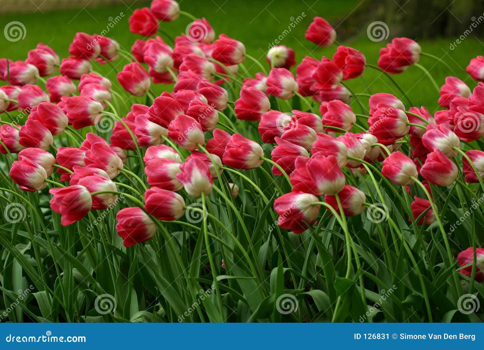 Feld der Tulpen