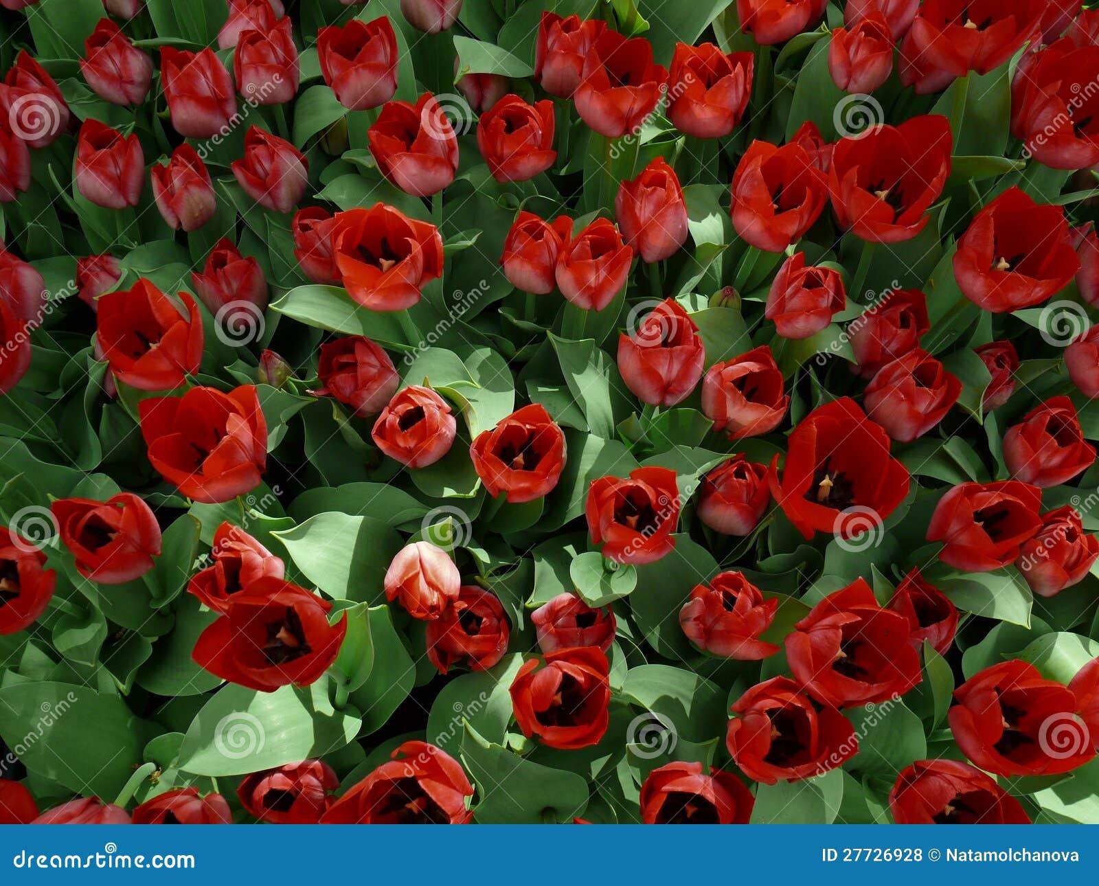 Feld der Tulpen, Draufsicht
