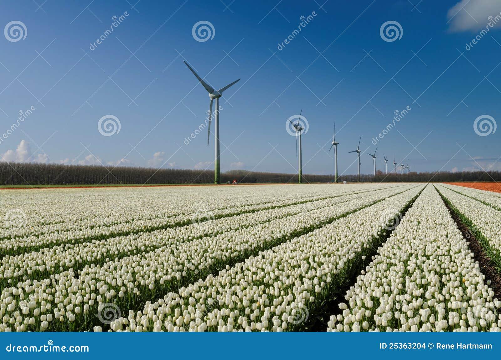 Feld der weißen Tulpen und der Windturbinen