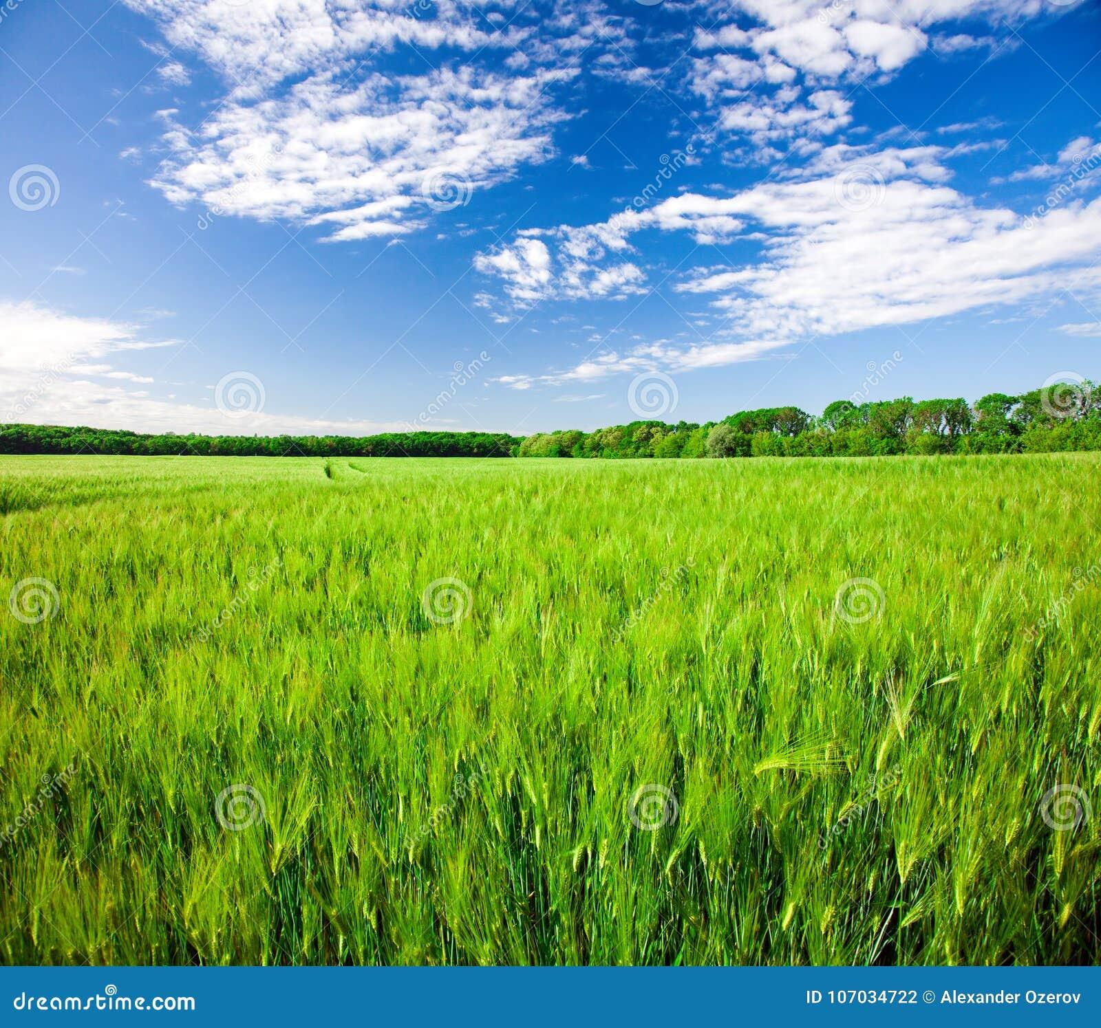 Feld des grünen Roggens und des blauen bewölkten Himmels
