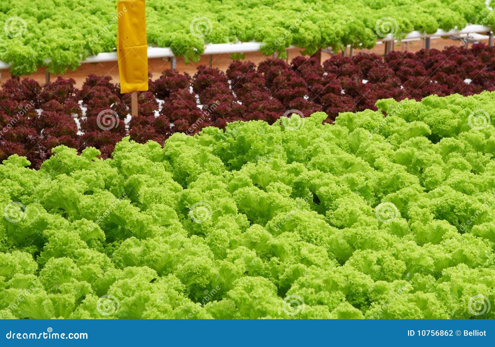 Feld des Kopfsalates