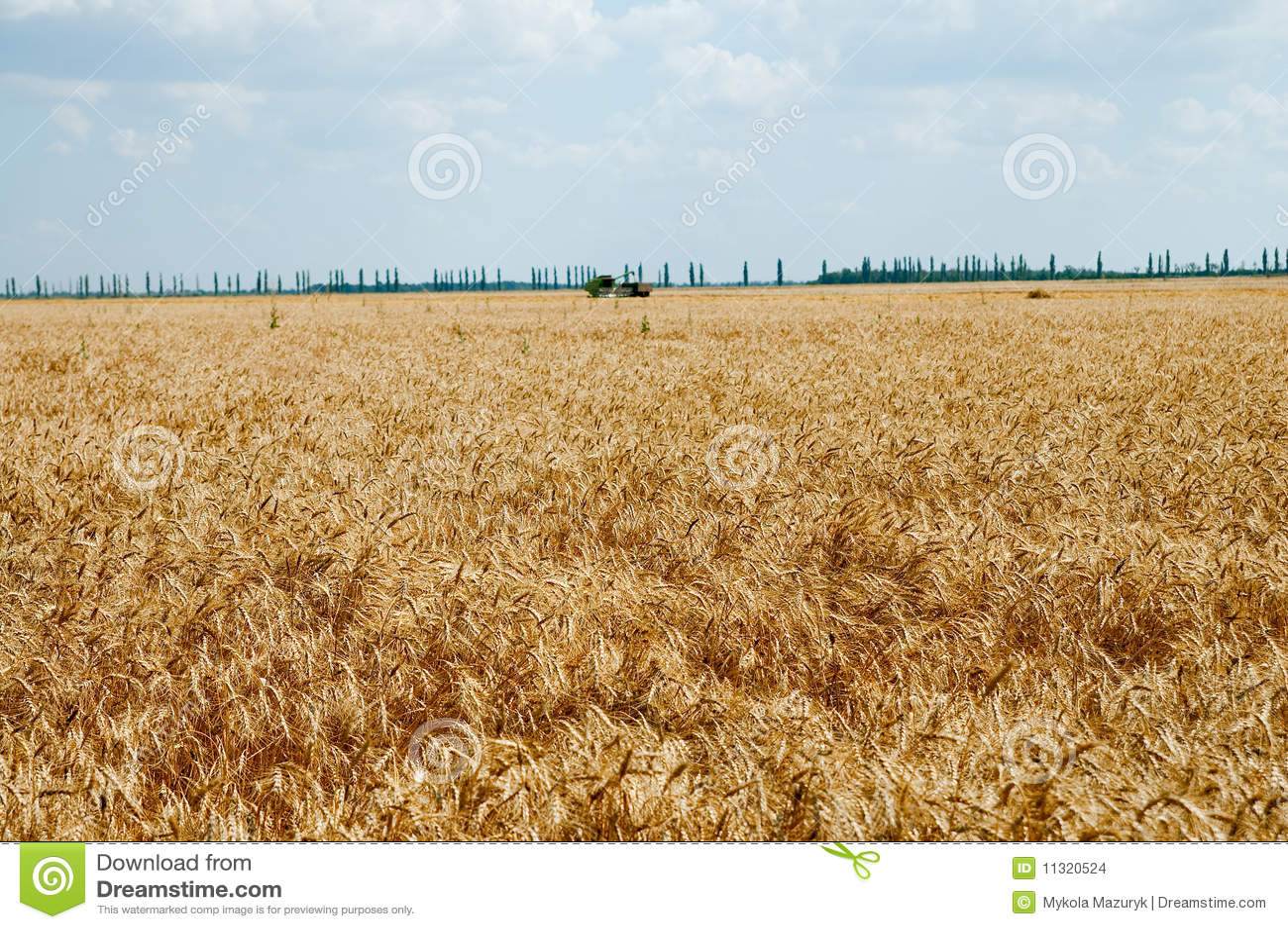 Feld des reifen Weizens
