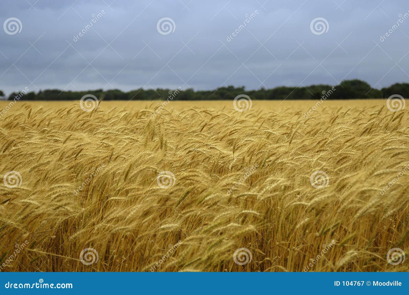 Feld des Weizens