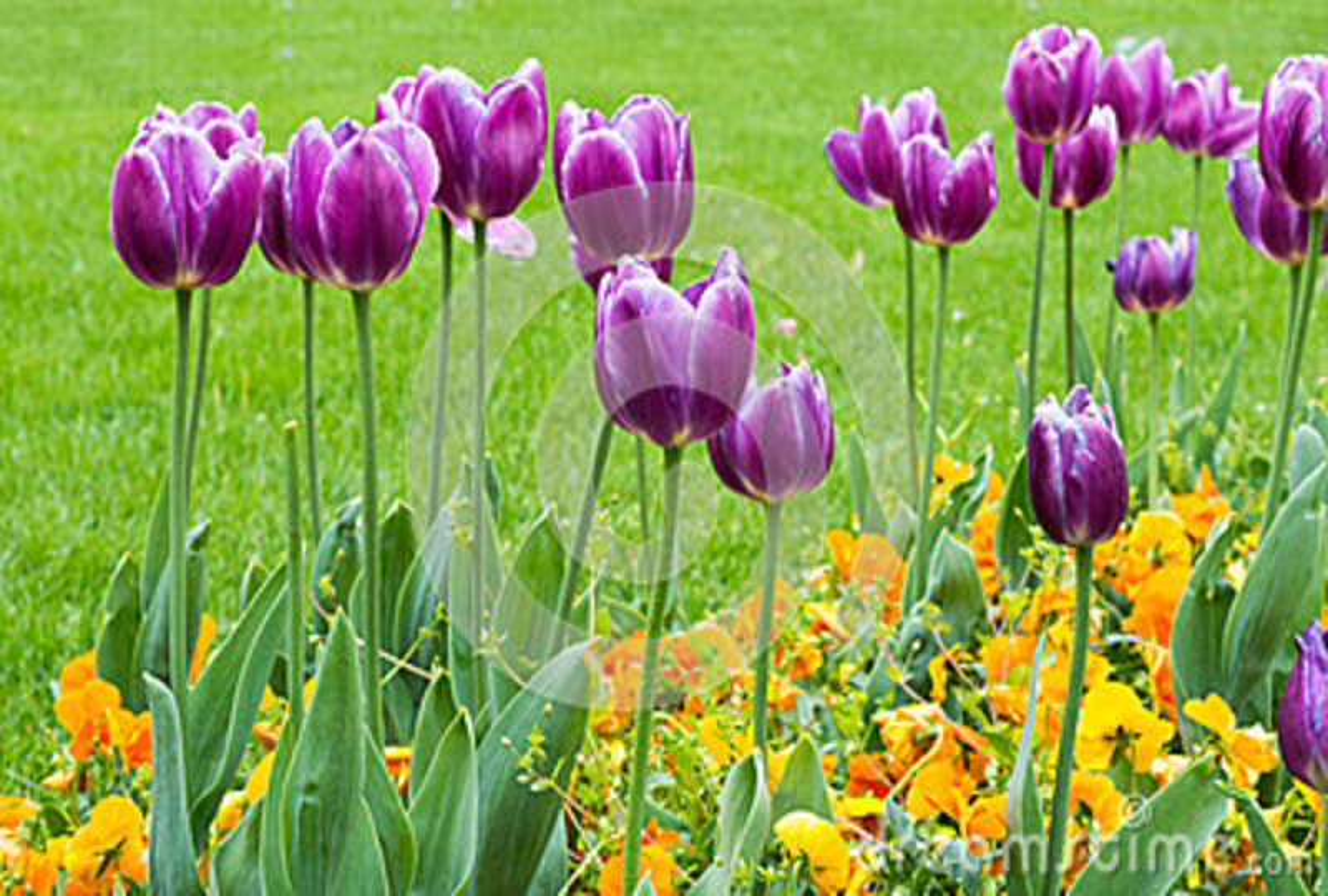 Feld Mit Den Purpurroten Und Gelben Blumen Fruhjahr Stockfoto