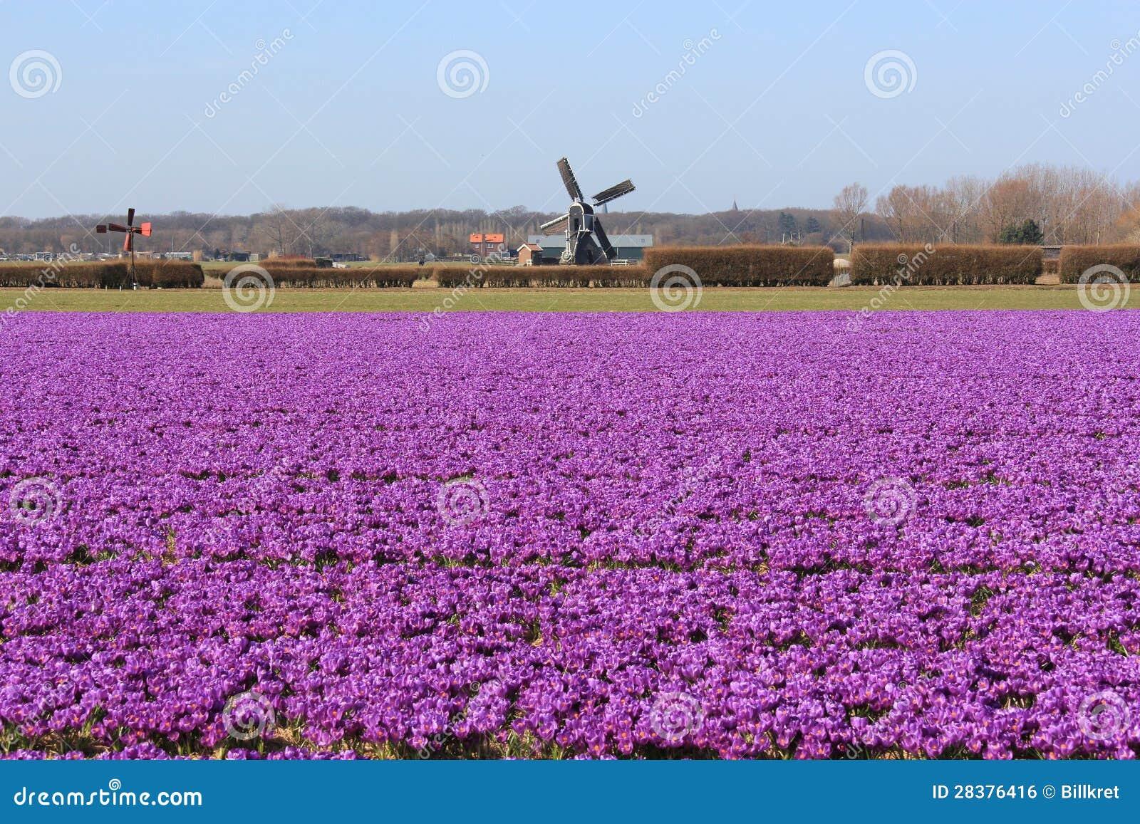 feld mit sch nen purpurroten blumen in holland lizenzfreies stockbild bild 28376416. Black Bedroom Furniture Sets. Home Design Ideas