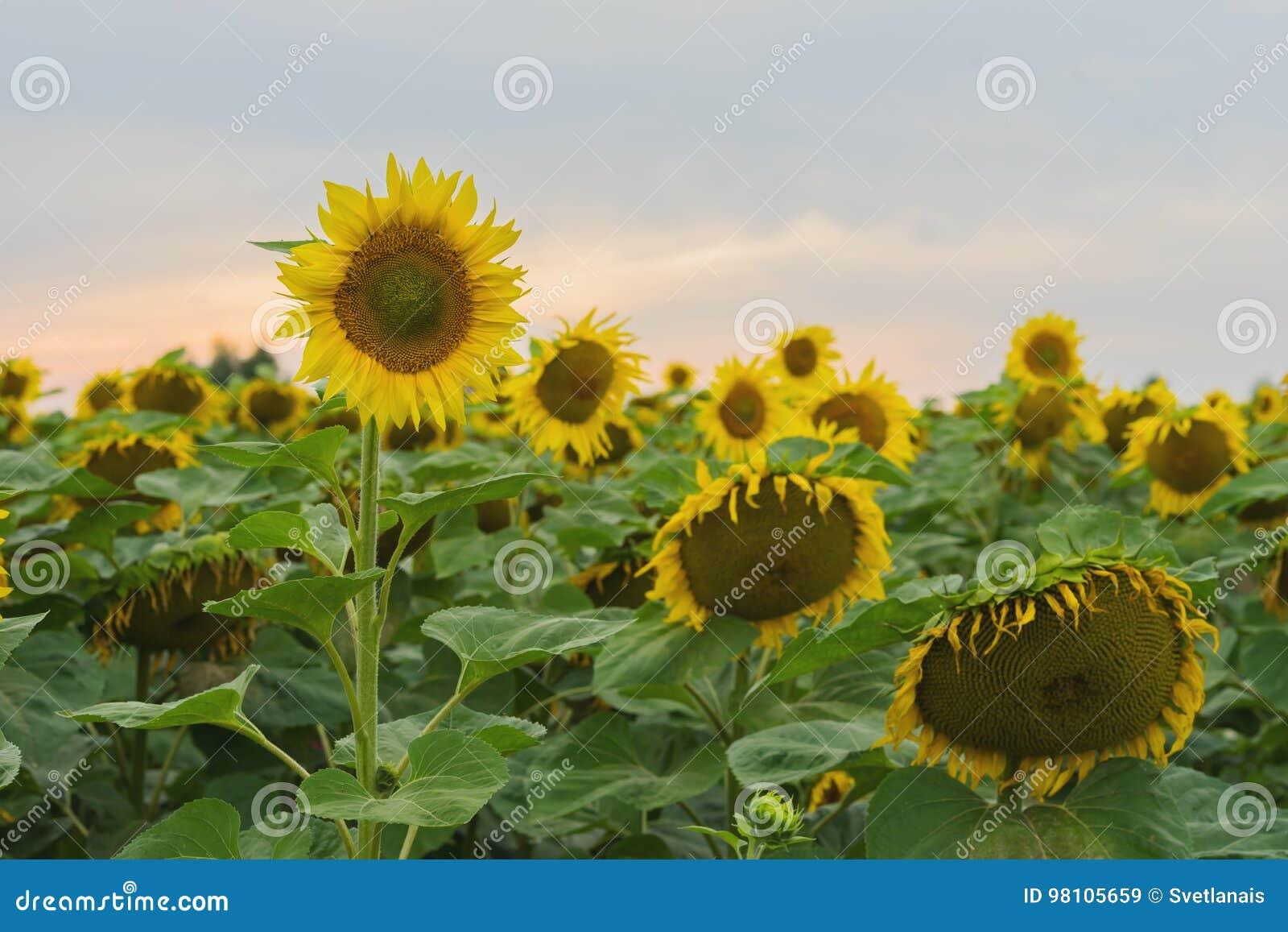 1f9eee8a19 Feld von Bauernhofsonnenblumen gegen den Hintergrund des Sonnenuntergangs  am August-Abend nach dem Regen Schöner Sommerhintergrund auf verschiedenen  Themen
