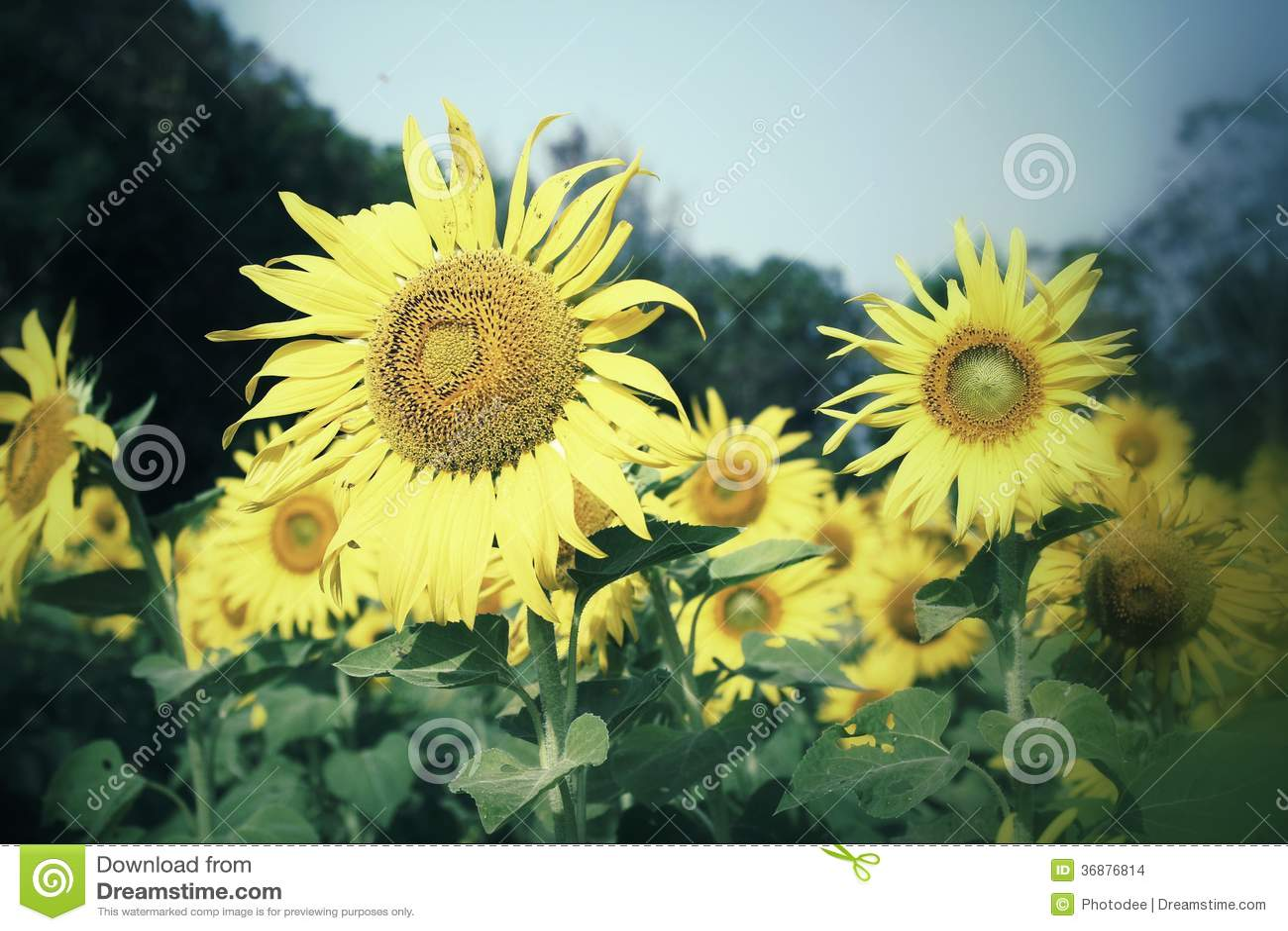 Feld von blühenden Sonnenblumen