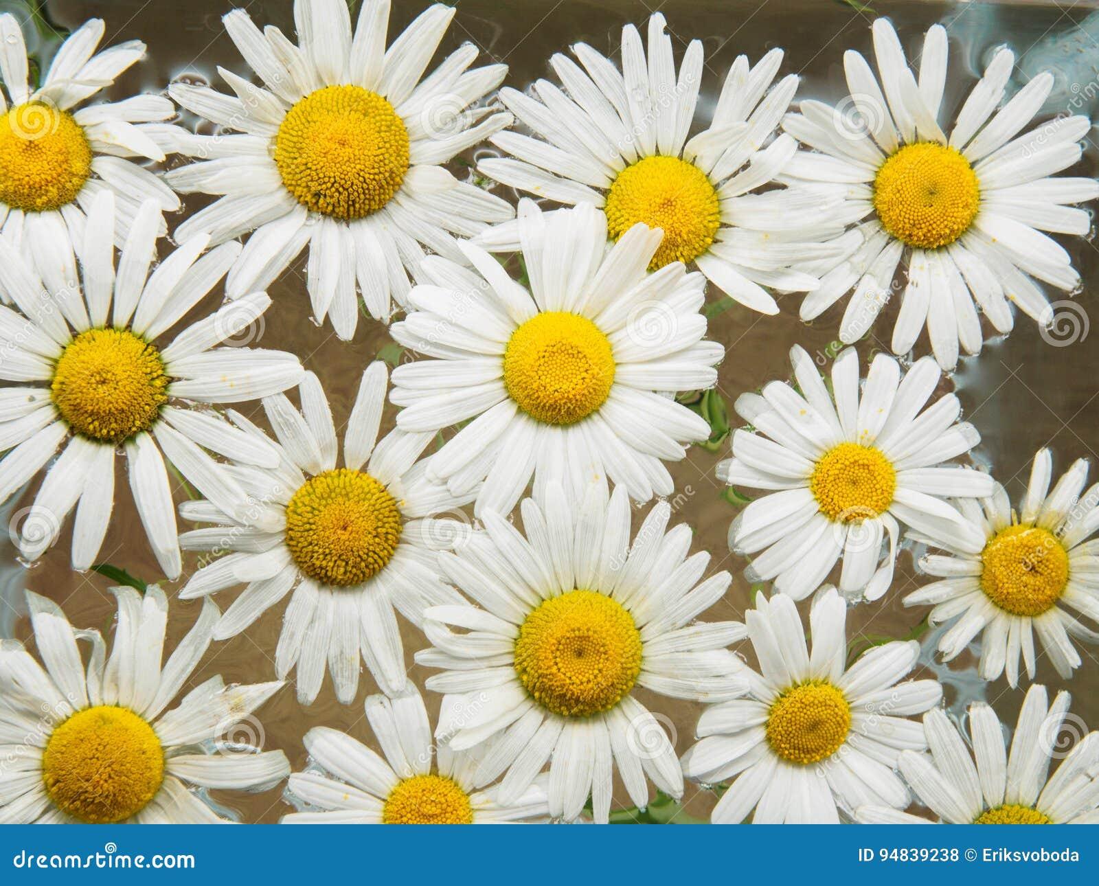 Schön Gänseblümchen Blumenschablone Fotos - Beispiel Wiederaufnahme ...