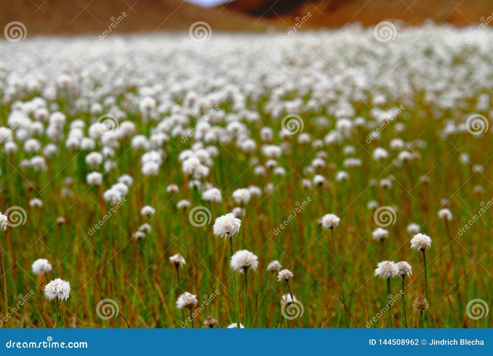 Feld von Scheuchzers Cottongrass, Hrafnafifa, Island