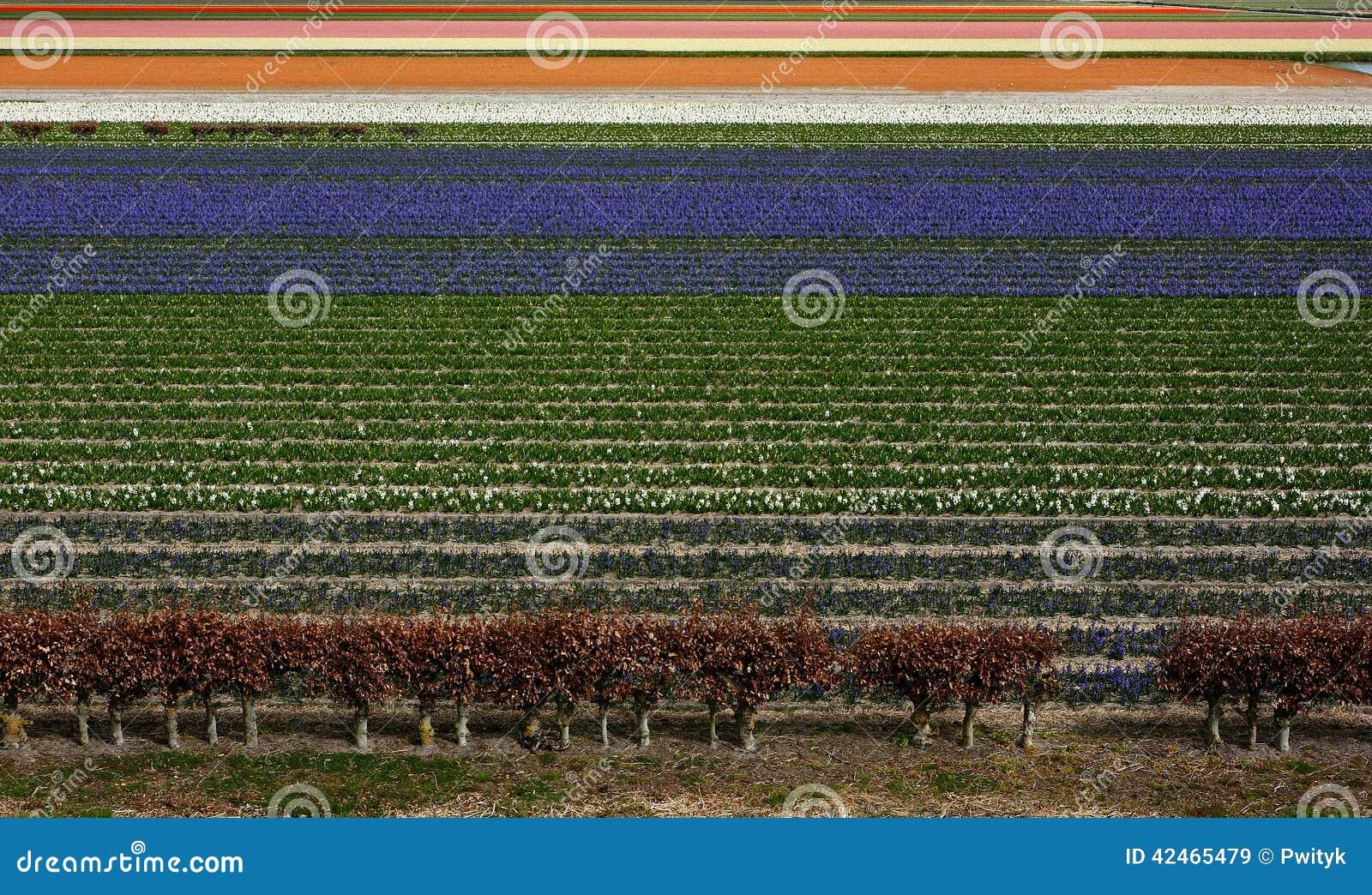 Feld von Tulip Flowers