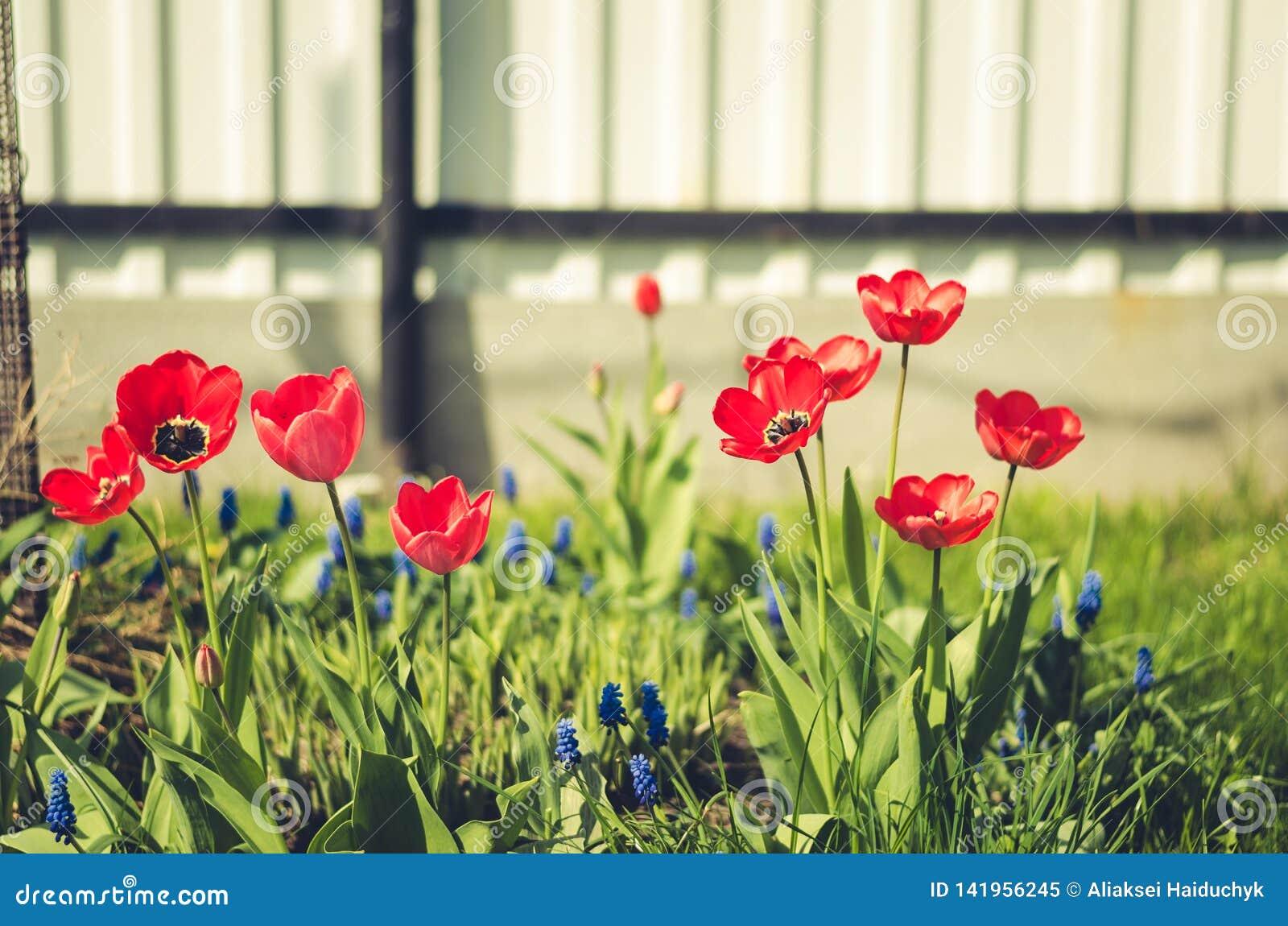Feldblumentulpe Schöne Naturszene mit blühender roter Tulpe/Sommerblumen Schöne Wiese Wiese voll des gelben Löwenzahns