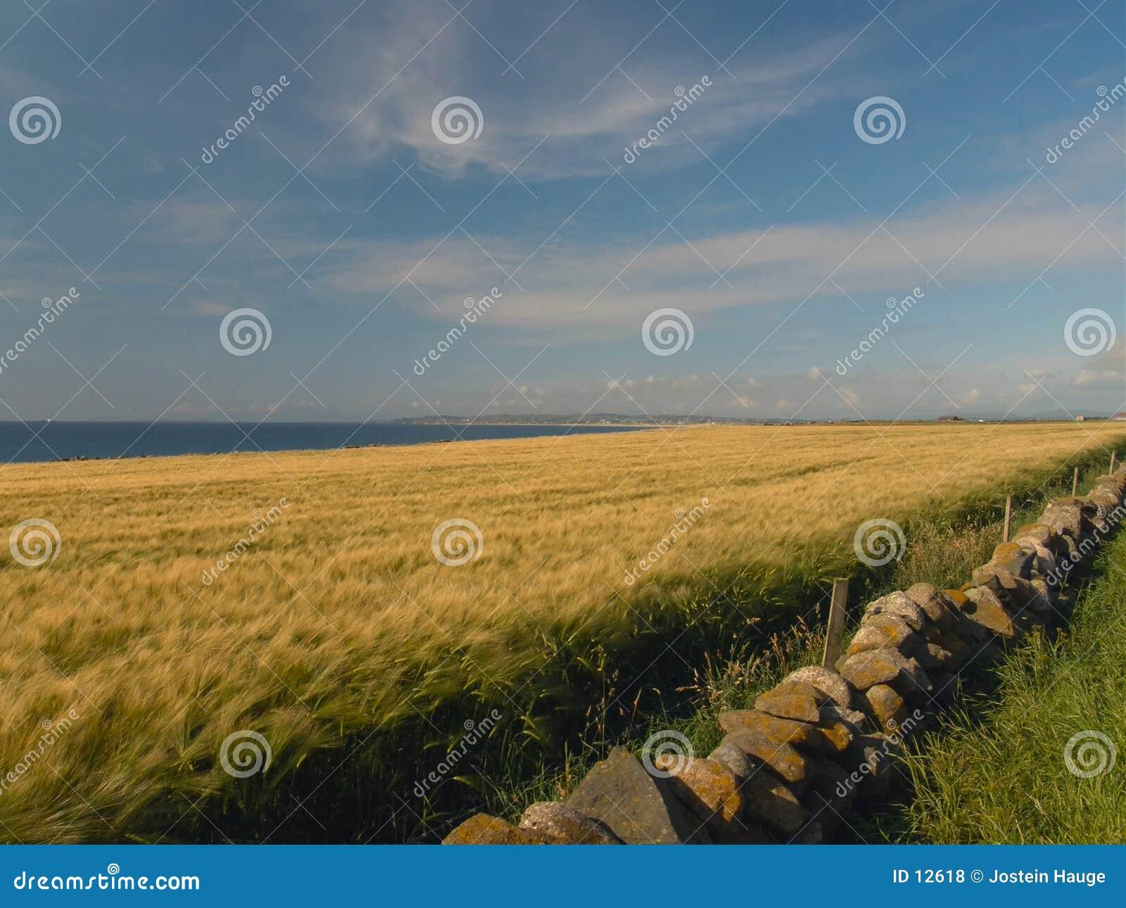 Felder der Gerste