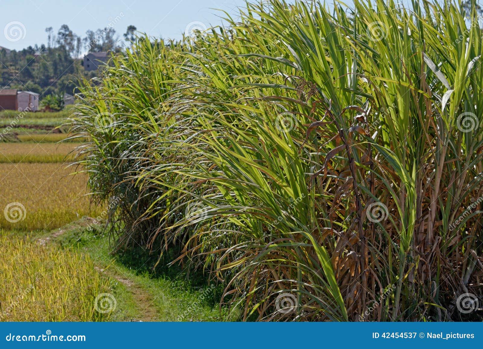 Felder des Zuckerrohrs in Madagaskar