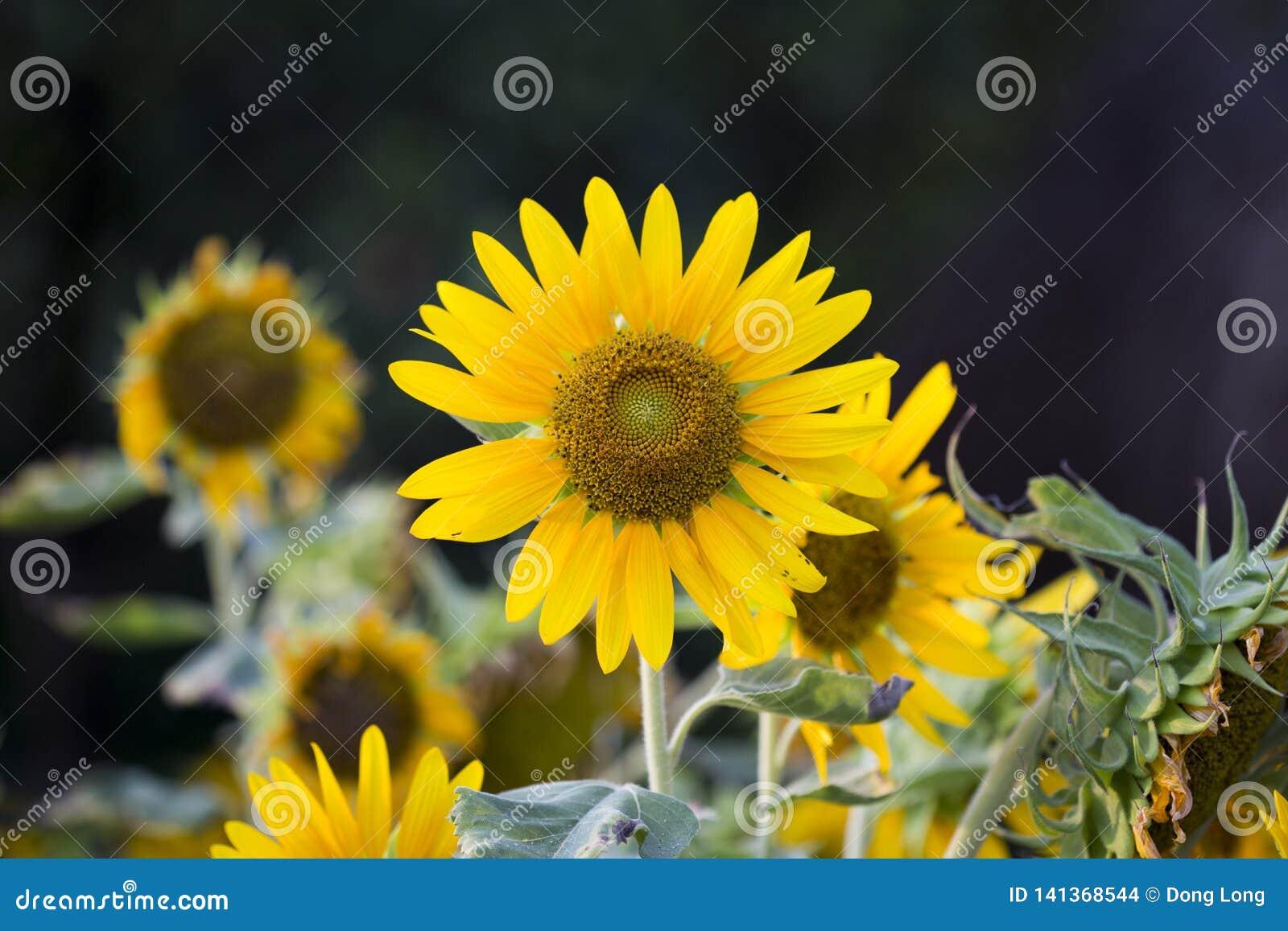 Felder von Sonnenblumen sind jetzt ein Common