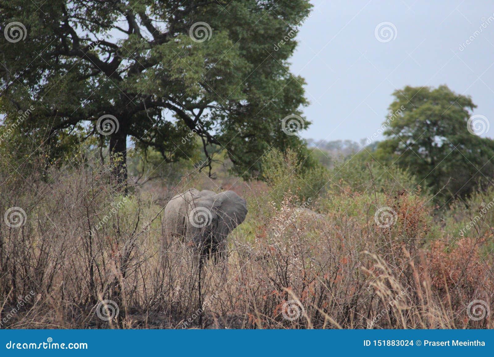 Felicidad y libertad de elefantes salvajes africanos de la vida