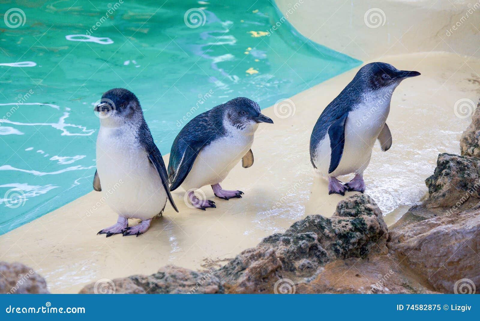 Felika pingvin
