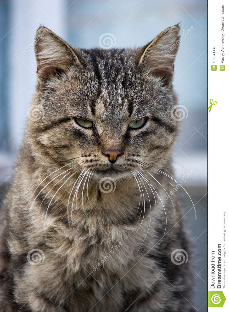 Felis Catus Cat Stock Images Image 18984144