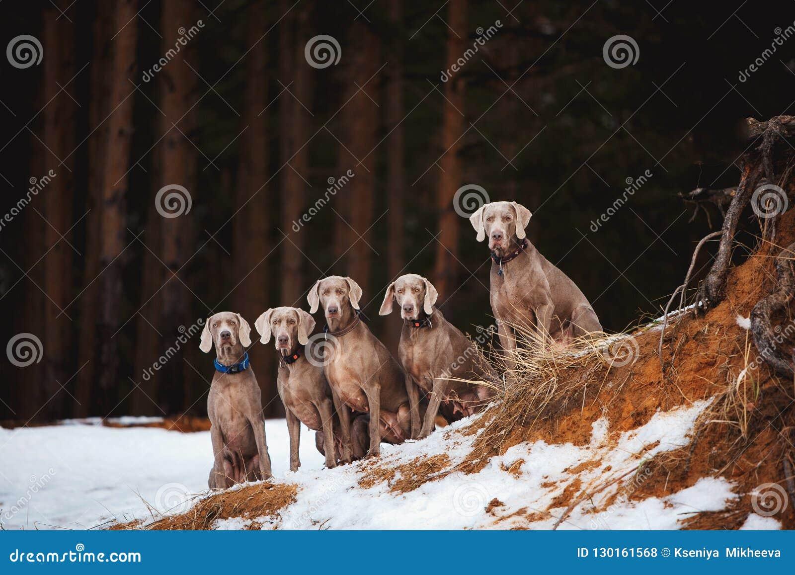 Fem Weimaraner hundkapplöpning som sitter på, vaggar