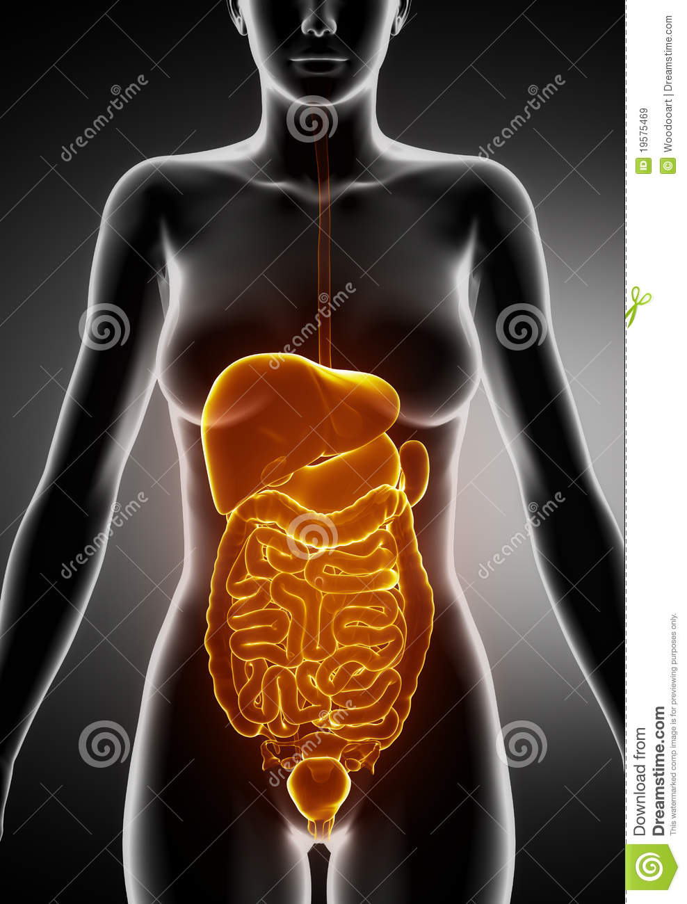 Female Abdominal organs stock illustration. Illustration of ...