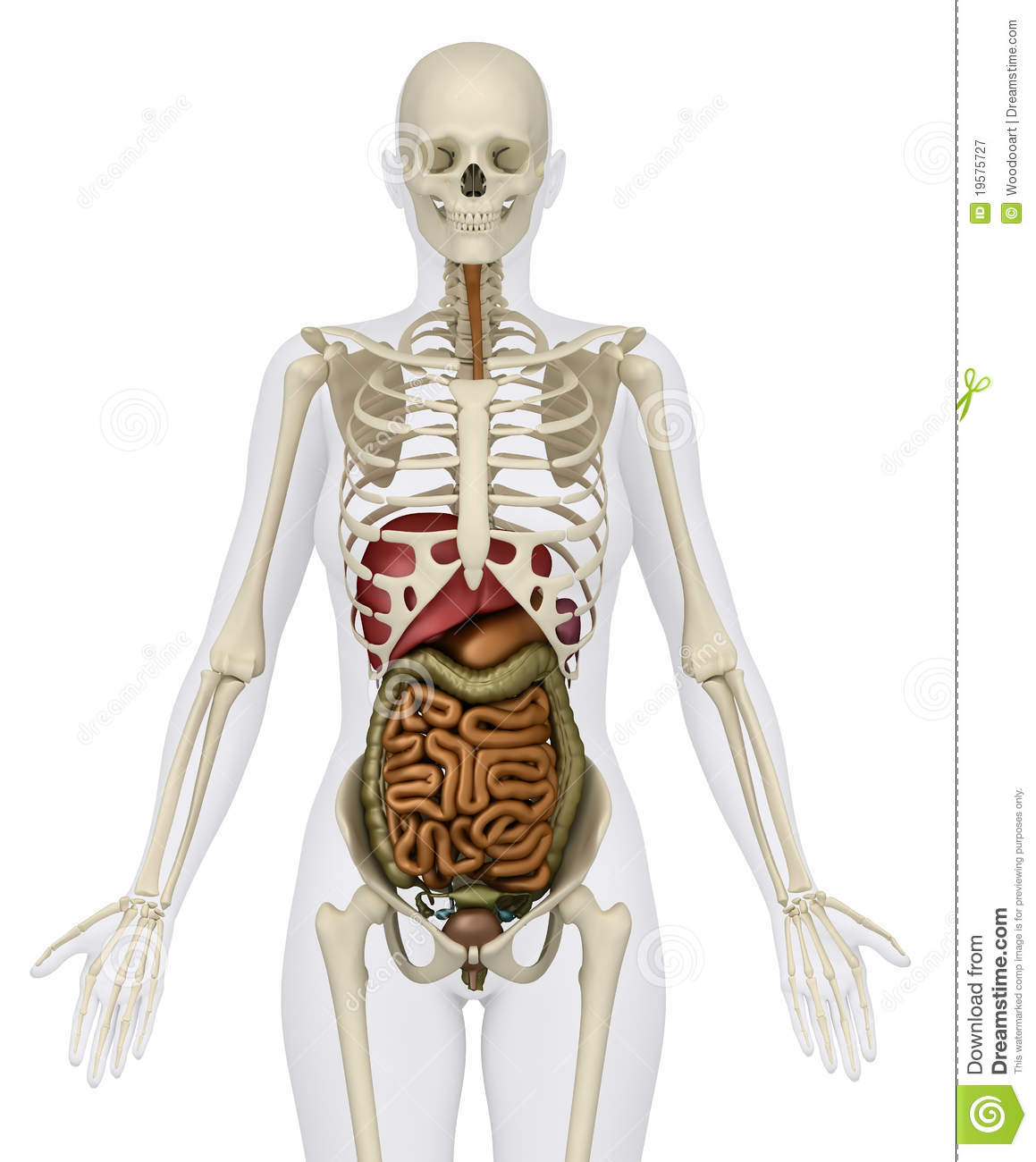 Female Abdominal Organs With Skeleton Stock Illustration ...