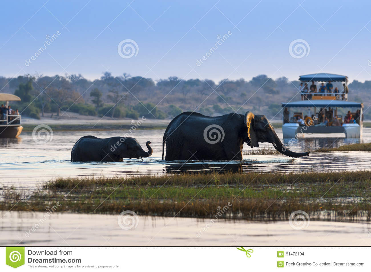 Female African Elephant and its cub crossing the Chobe River in the Chobe National Park with tourist boats on the background