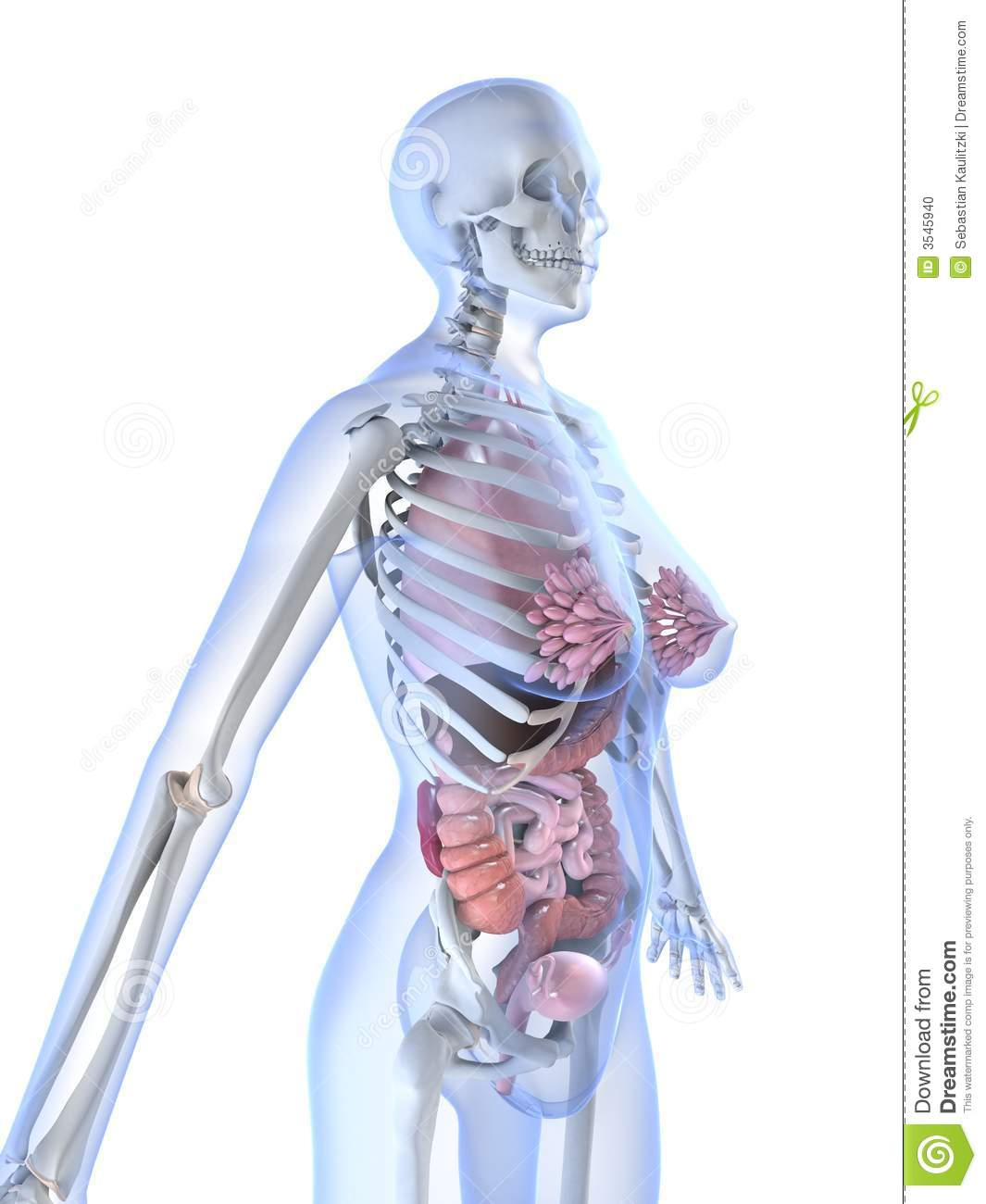 female anatomy stock photo