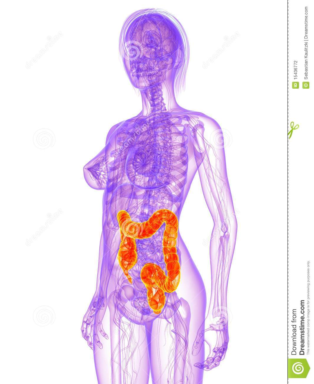 Female anatomy - colon stock illustration. Illustration of anatomy ...