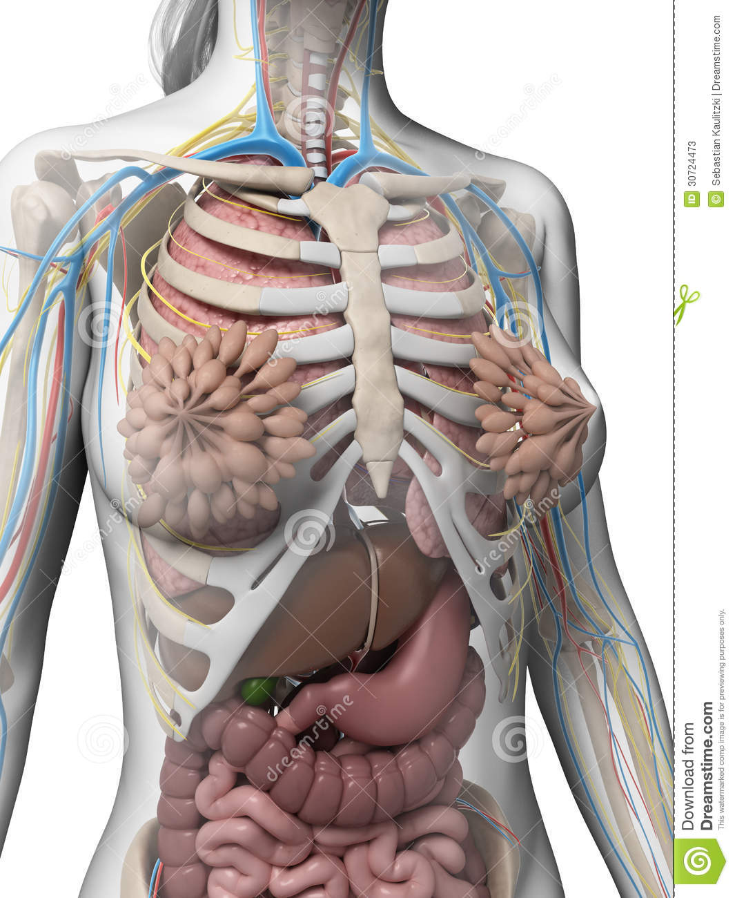 Female Anatomy Stock Illustration  Illustration Of