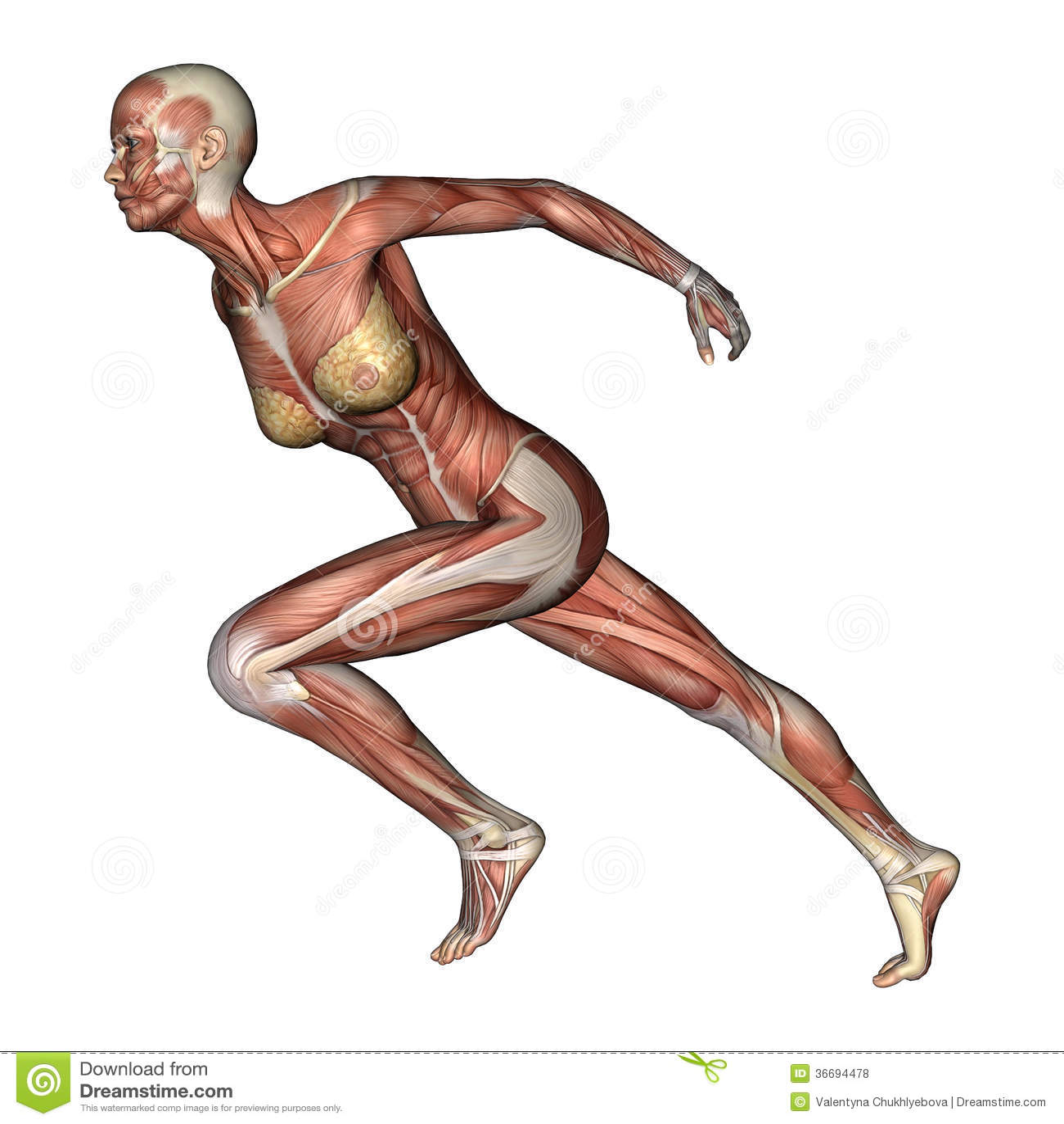 Female Anatomy Figure stock illustration. Illustration of anatomy ...