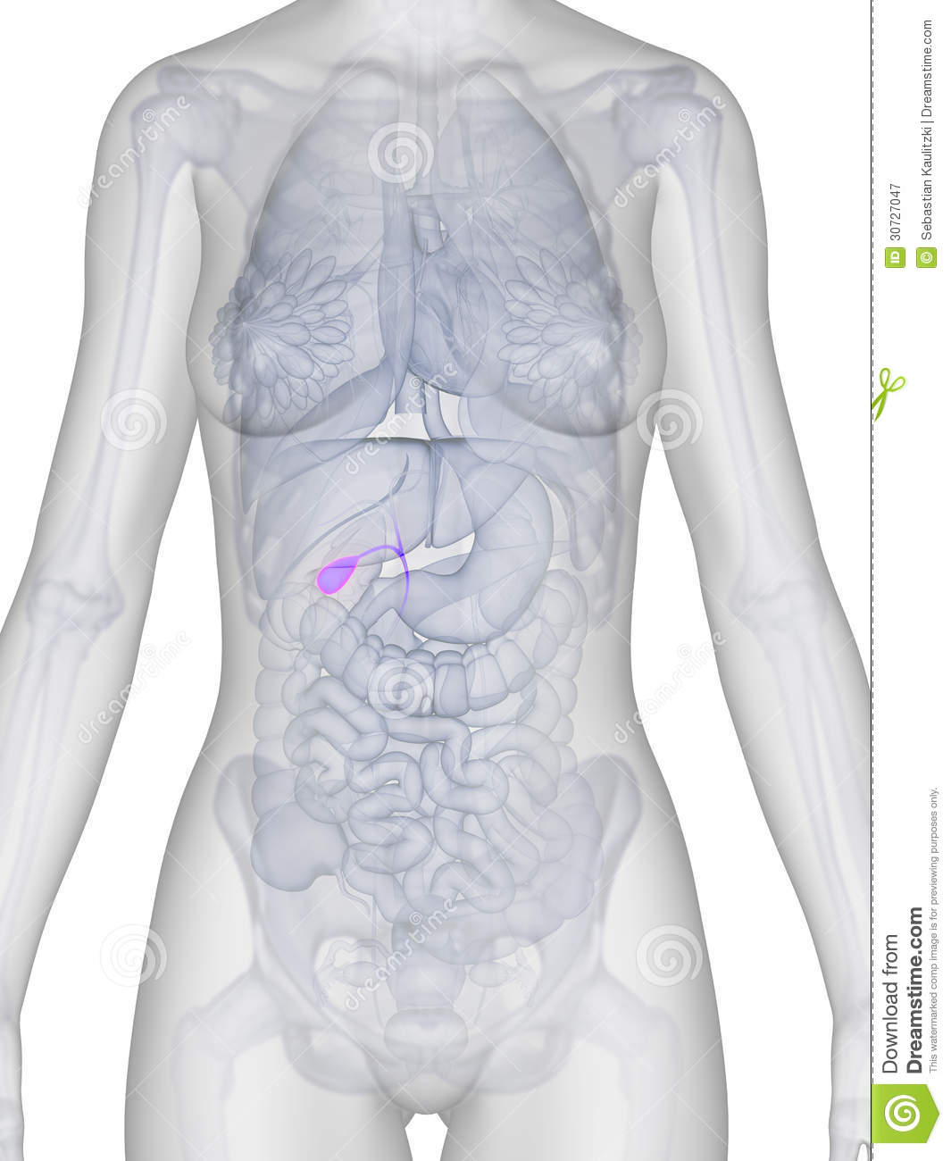 Female Anatomy Gallbladder Stock Illustration Illustration Of