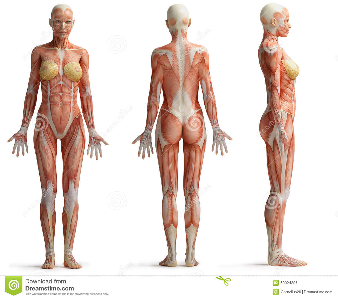 Female Anatomy Stock Illustration Illustration Of Muscles 50024307