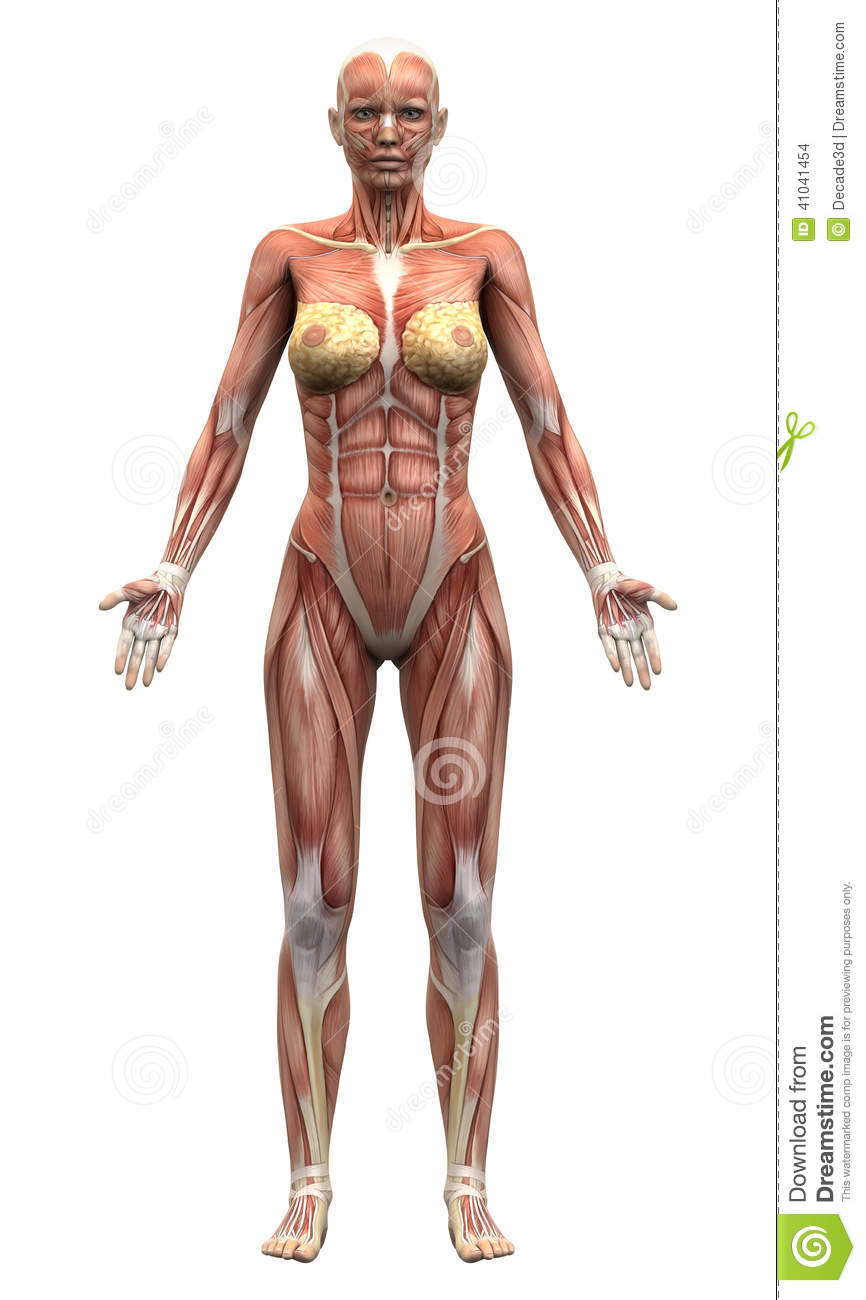 Female Anatomy Muscles Anterior View Stock Illustration