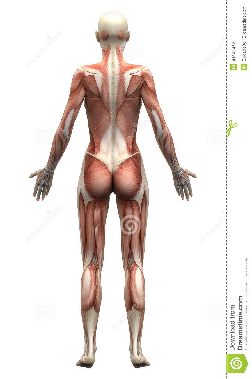 Female Anatomy Muscles Posterior View Stock Illustration