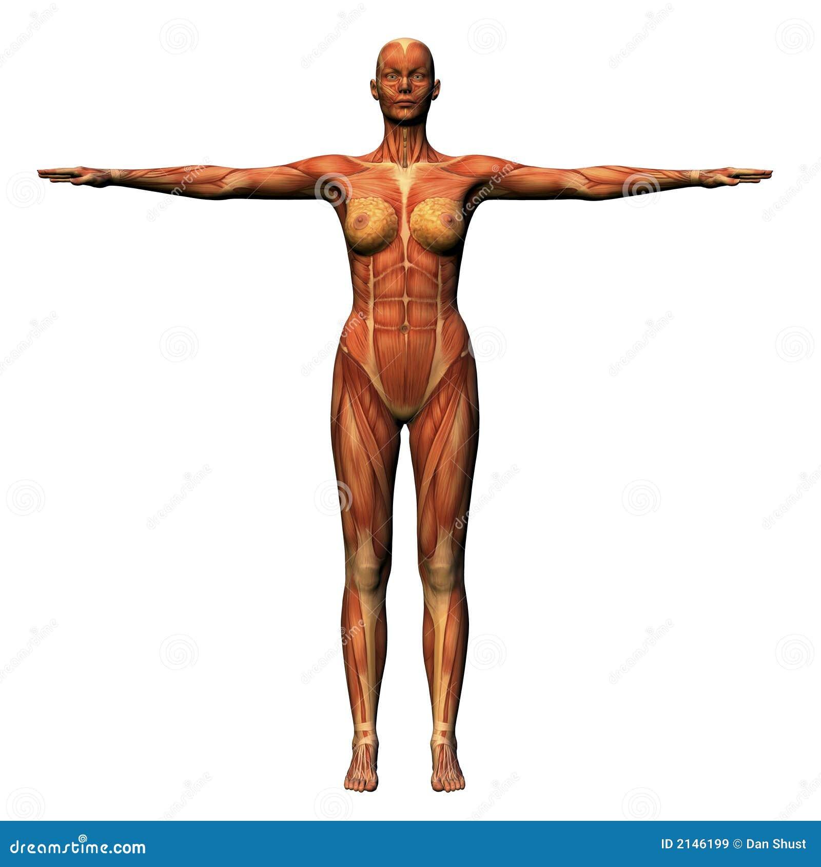 Female Anatomy Musculature Stock Illustration Illustration Of