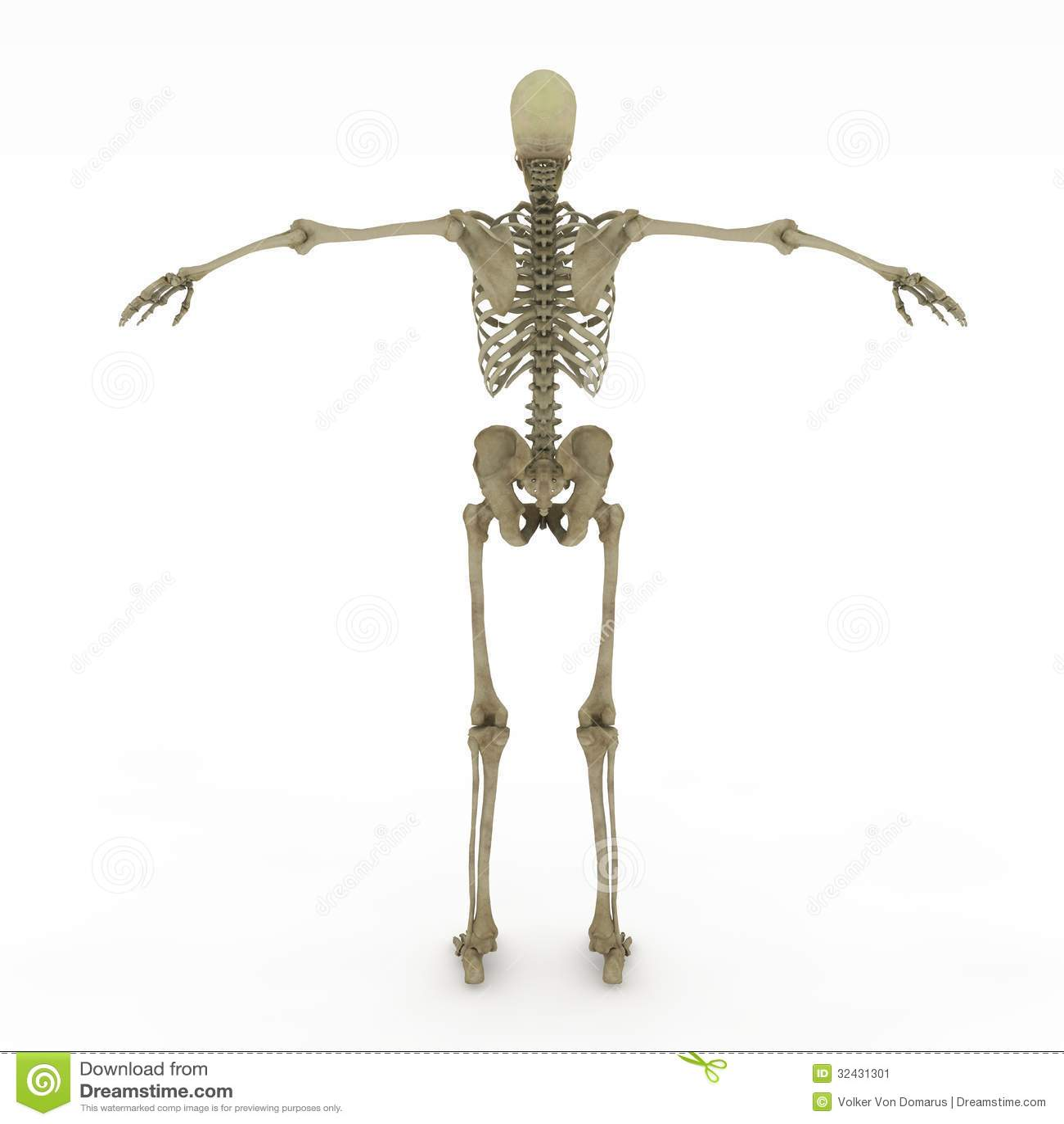 Female Anatomy Only Skeletal Stock Illustration Illustration Of