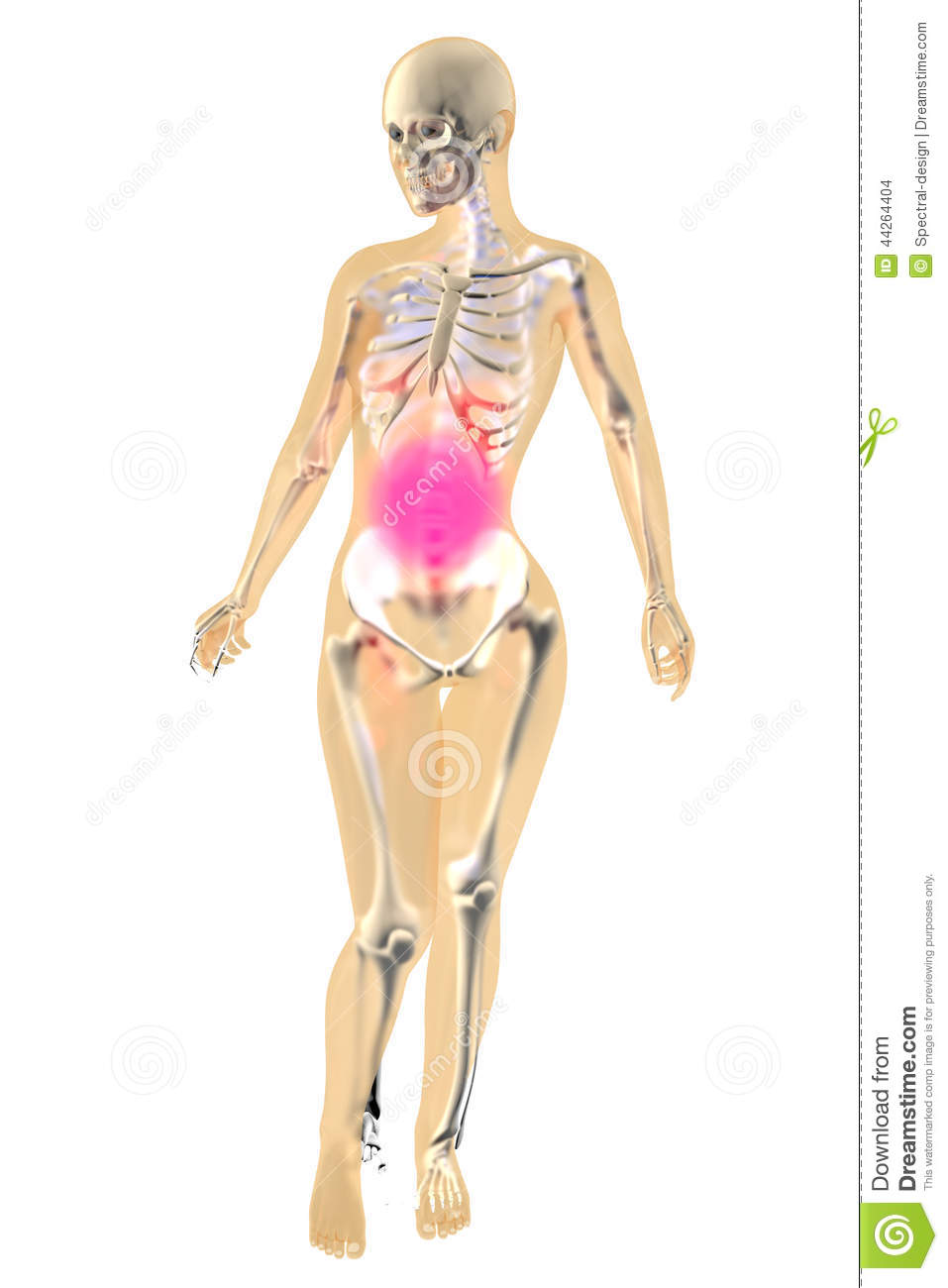 Female Anatomy Stomach Pain Stock Illustration Illustration Of