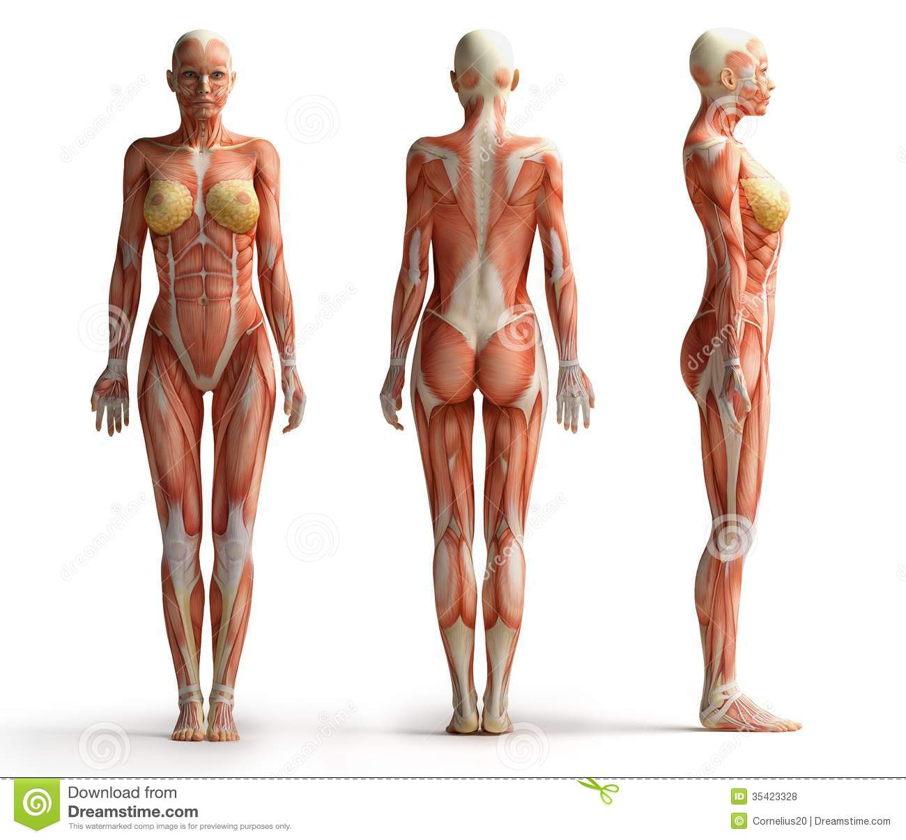Female Anatomy View Stock Illustrations 1483 Female Anatomy View